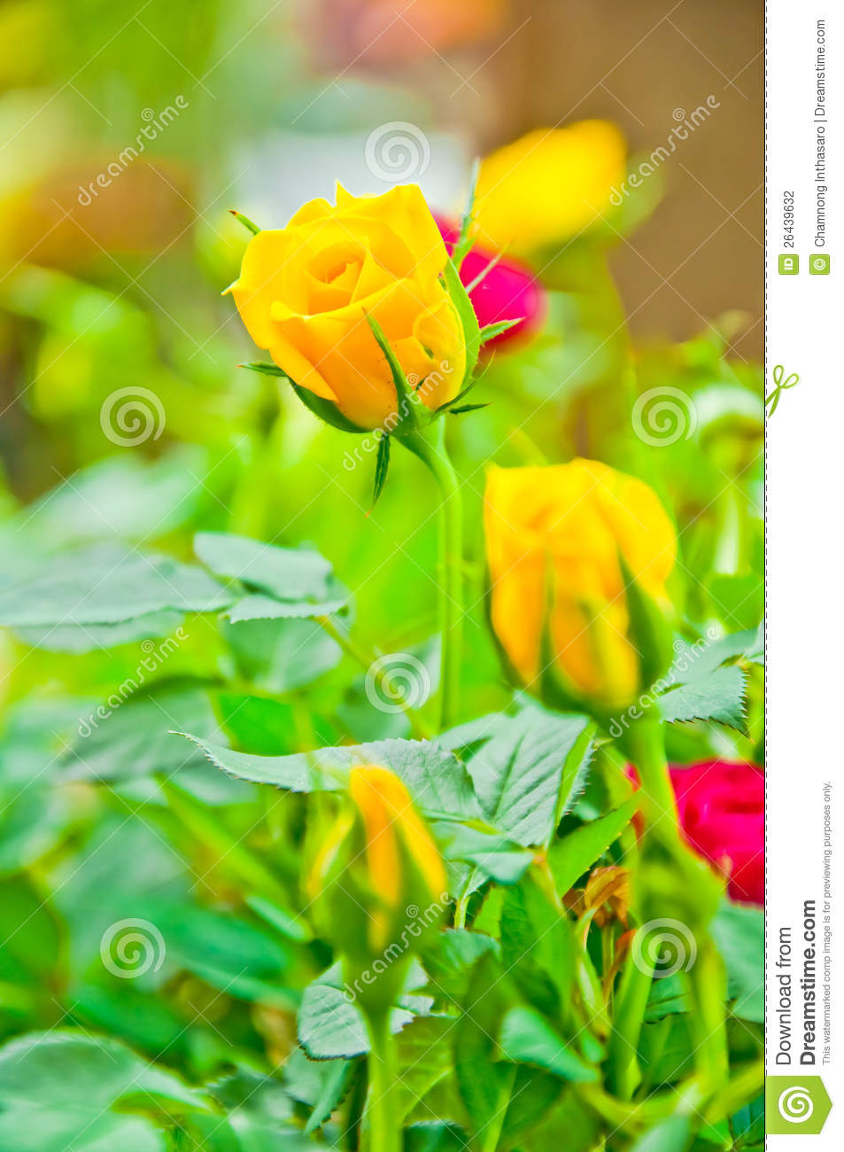 beauty yellow rose flower early morning stock photo image of cream