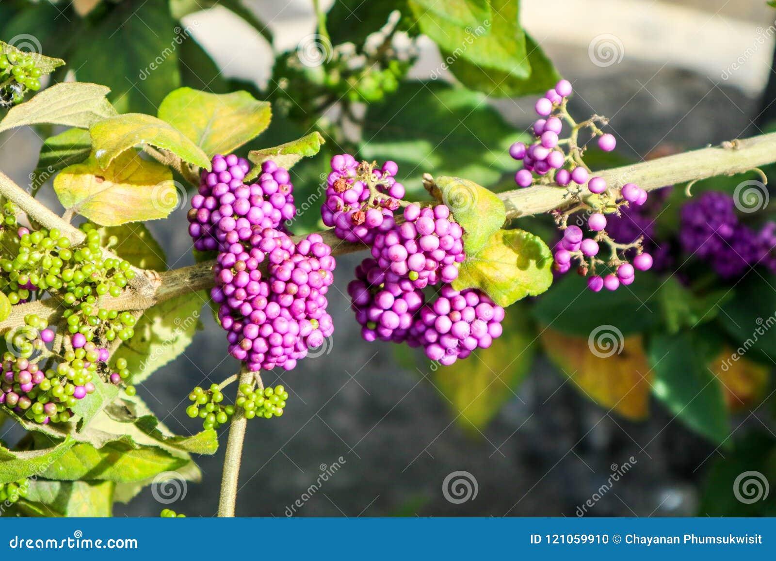 Beautyberry είναι ένα γένος των θάμνων και των μικρών δέντρων