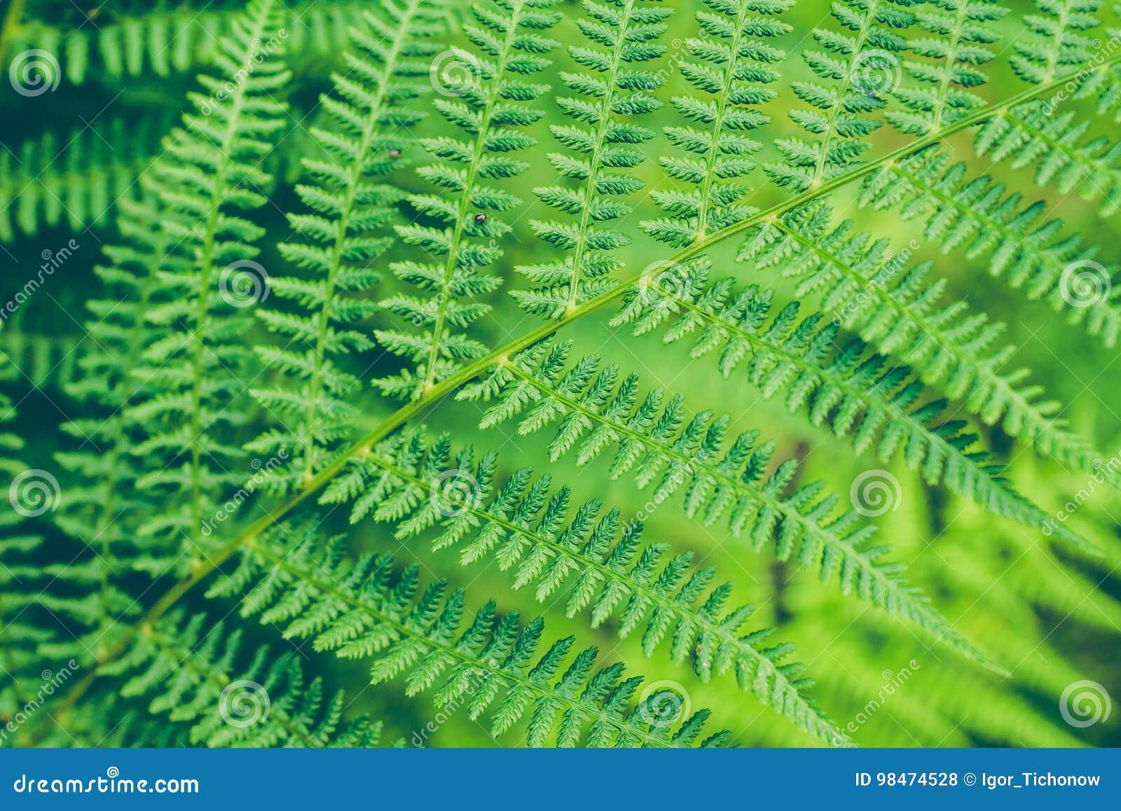 Beautyful蕨叶子 绿色叶子关闭 自然花卉蕨背景