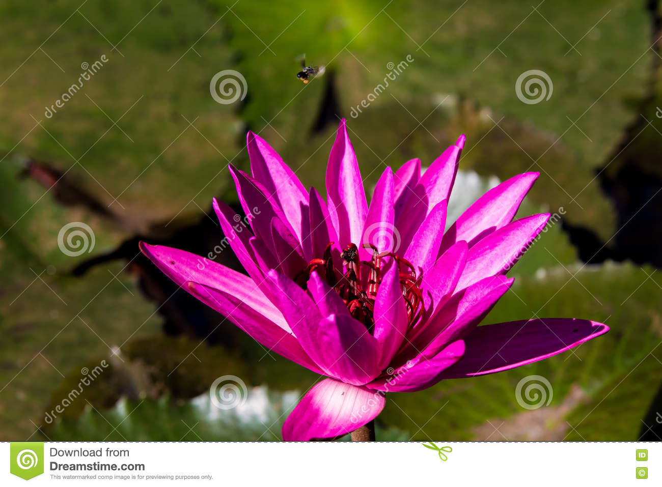 beautyful lotus blossom flower and bee plant stock photo  image, Natural flower