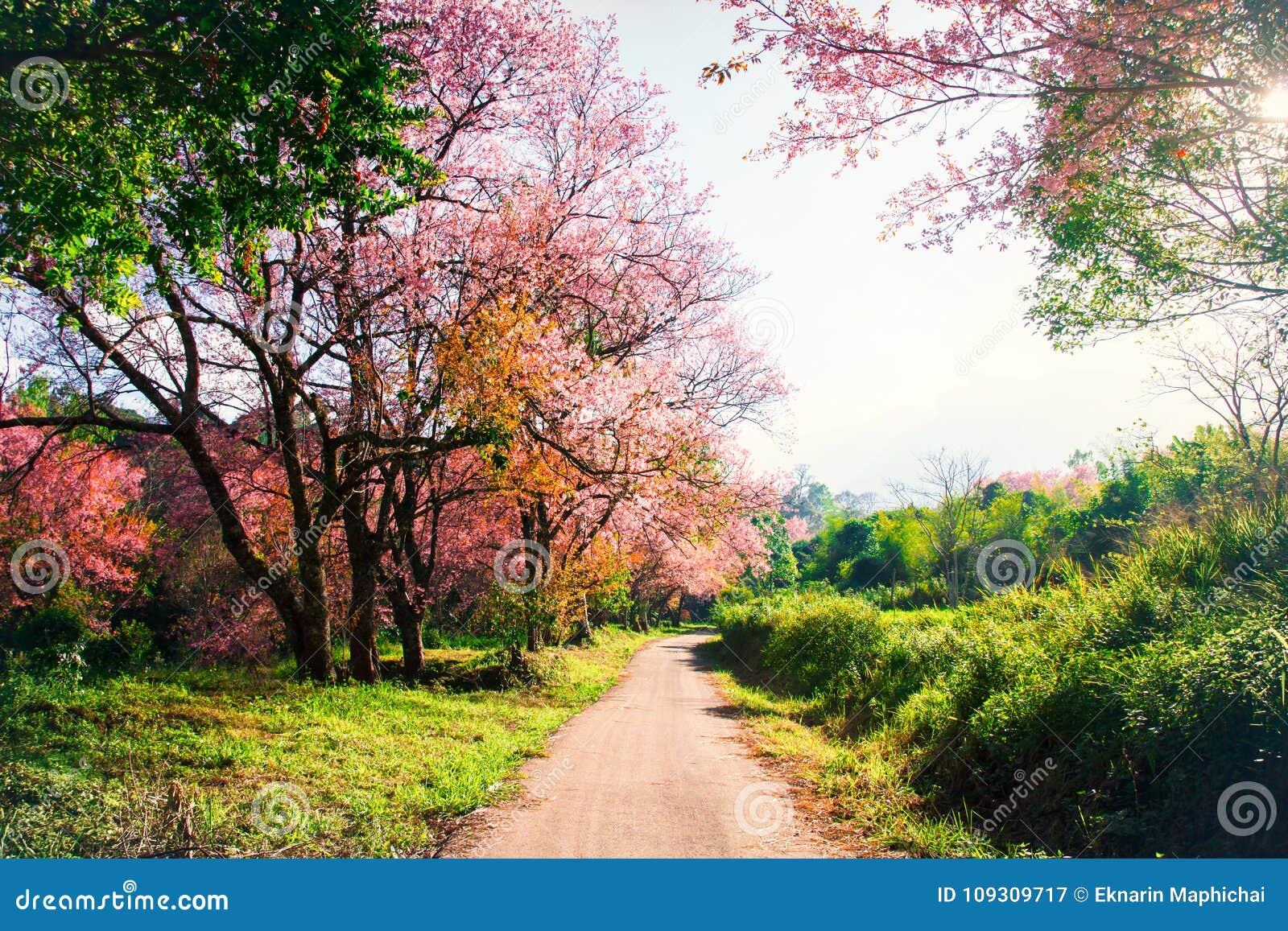 Beaux Arbres De Fleurs De Cerisier En Fleur En Nature Image Stock
