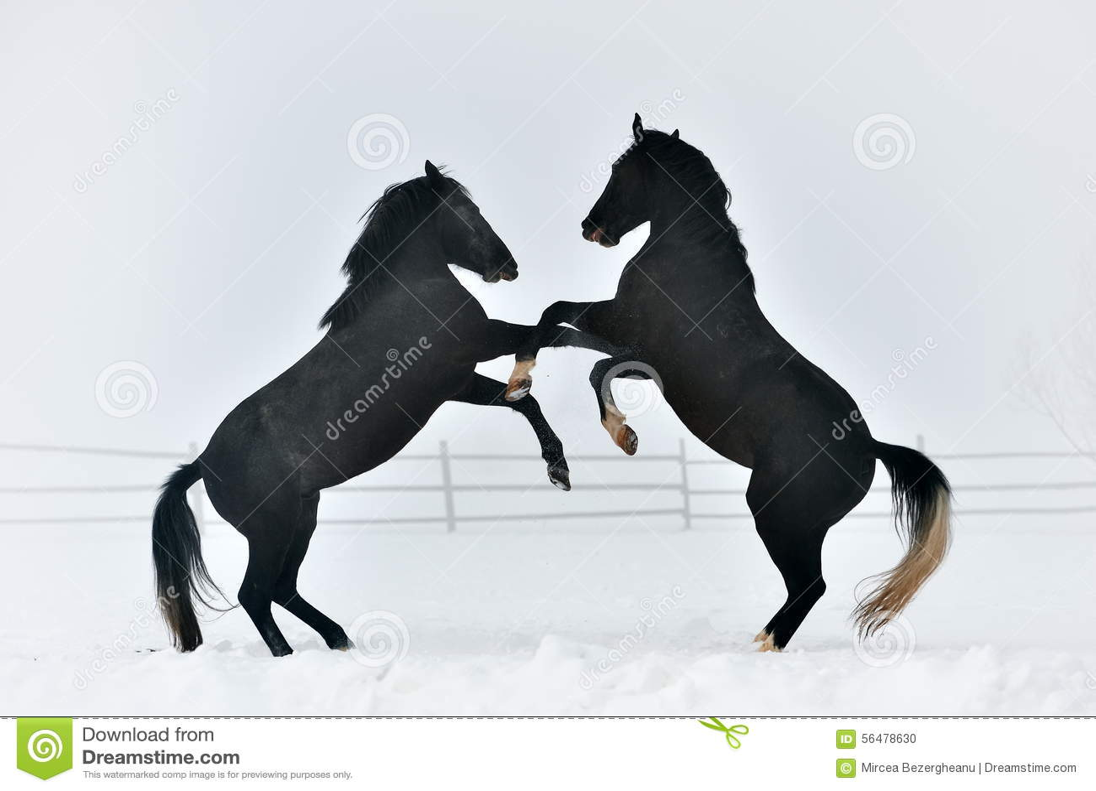 Beaux chevaux extérieurs en hiver