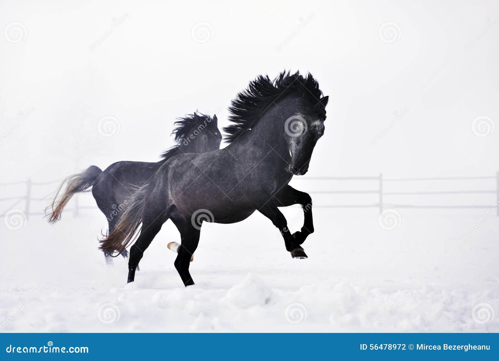 Beaux chevaux fonctionnant en hiver