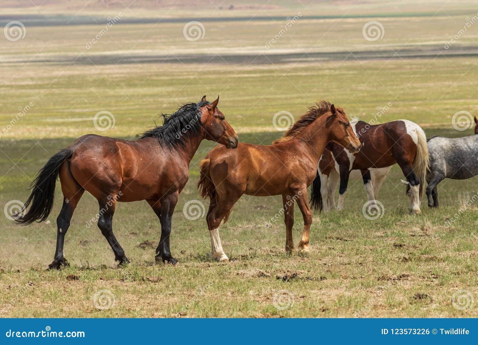 Beaux chevaux sauvages en Utah en été