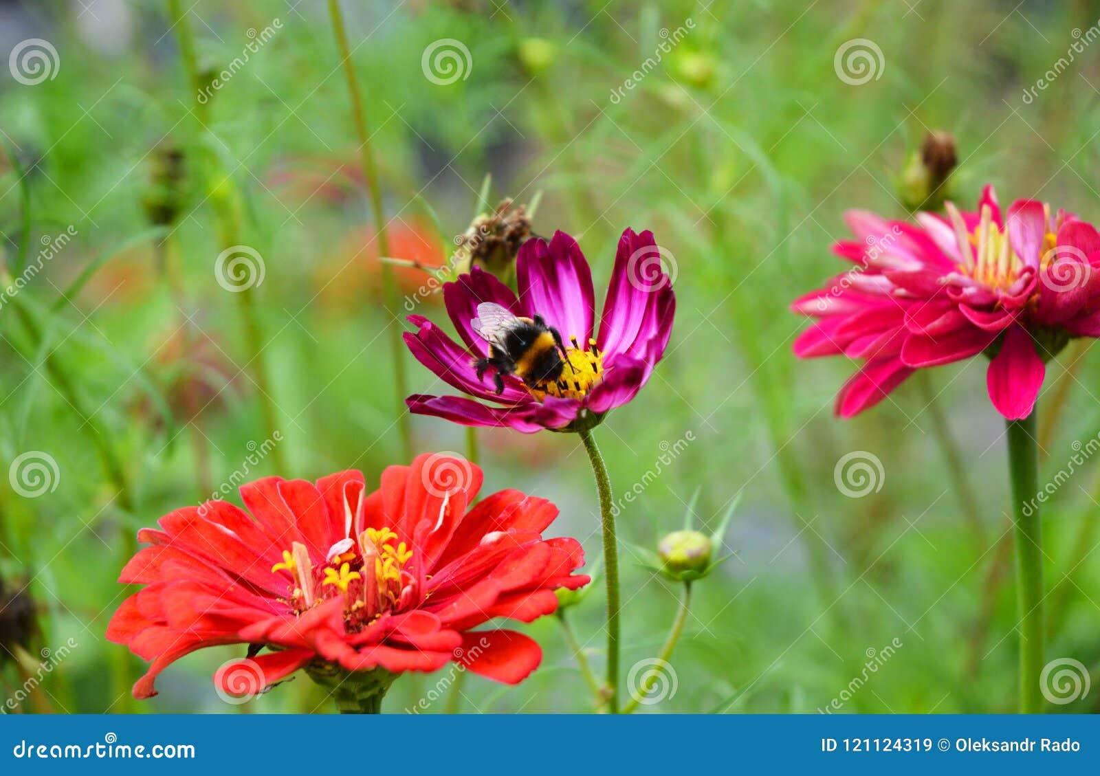 Beaux elegans de Zinnia de fleur de Zinnia d été avec le bourdon confortable