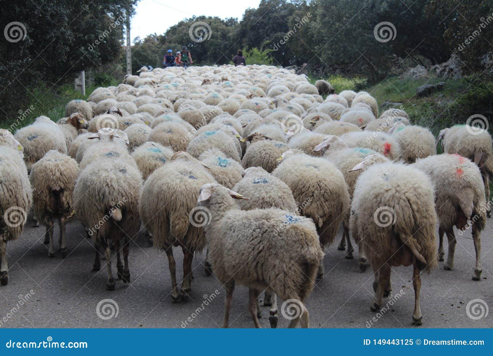Beaux moutons avec leurs agneaux dans la consommation de champ