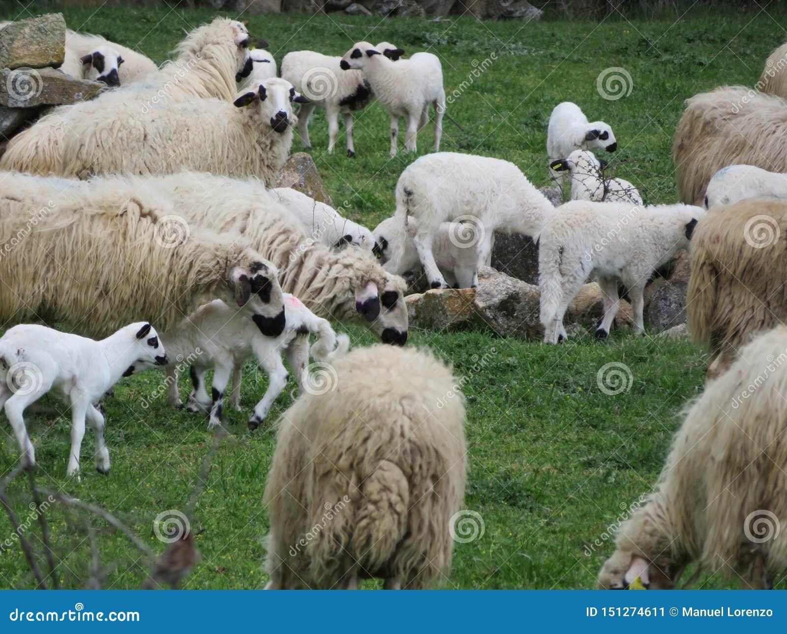 Beaux moutons frôlant dans le domaine heureux d être libre