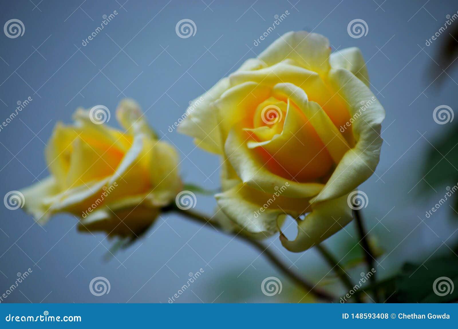 Beaux pétales de rose et usines