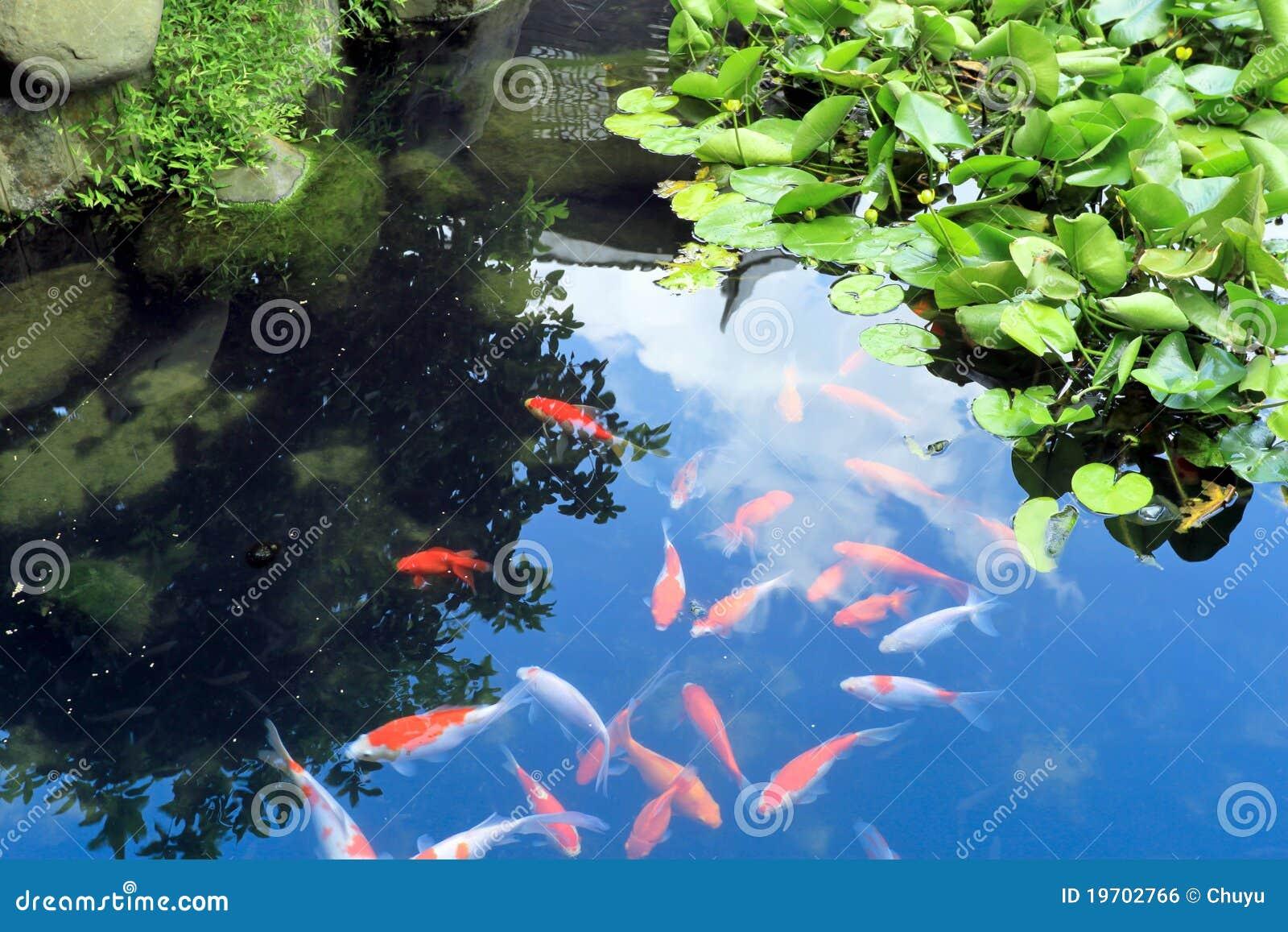 Beaux poissons chinois de koi ou de carpe dans l 39 eau photo for Koi ou poisson rouge
