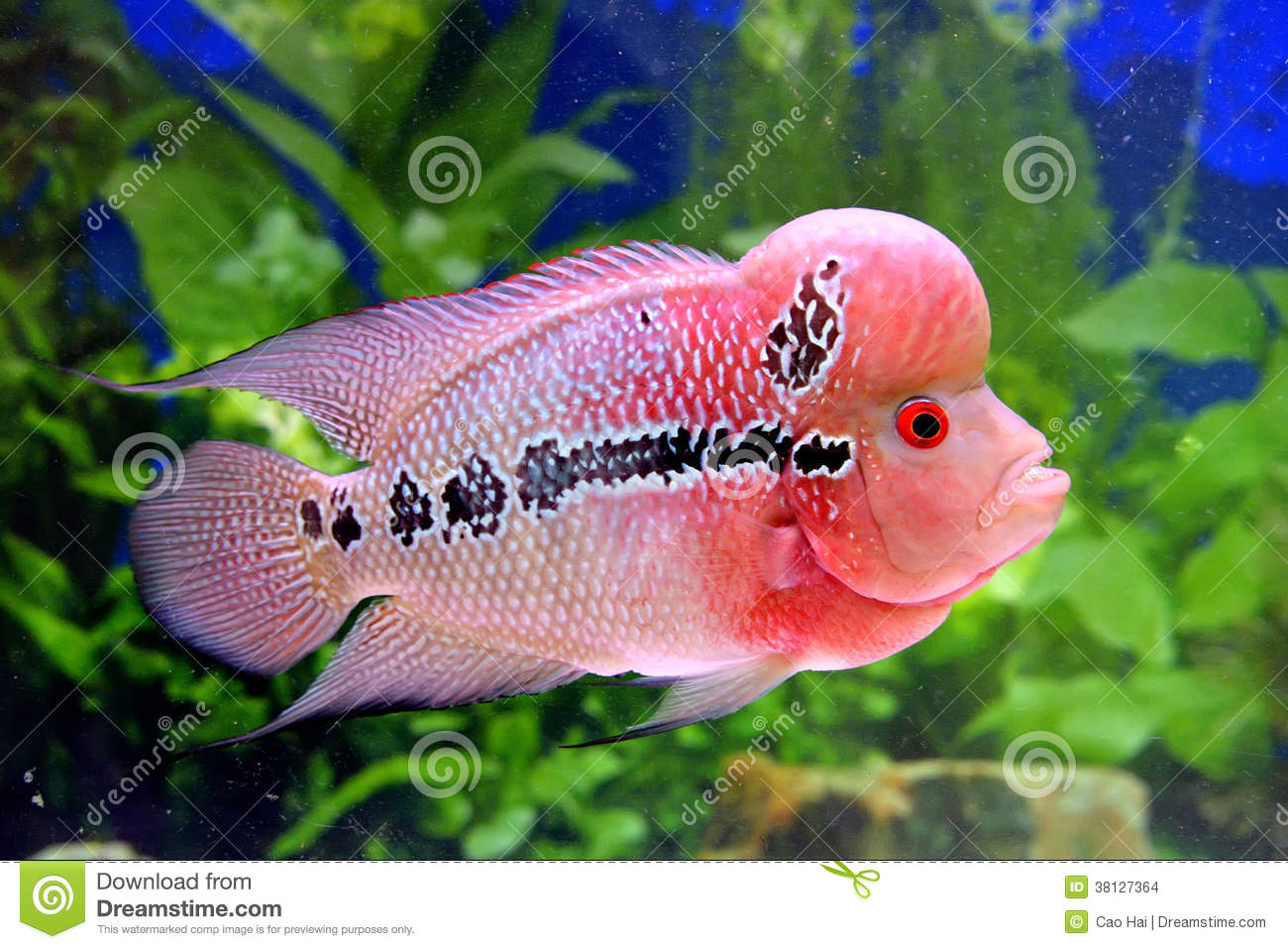 Beaux poissons d 39 aquarium dans le rose photo stock image for Prix poisson aquarium