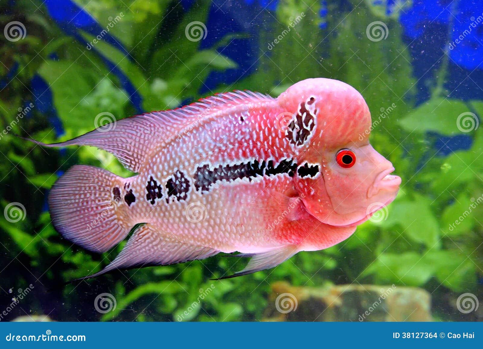 Beaux poissons d 39 aquarium dans le rose photo stock image for Prix poisson aquarium