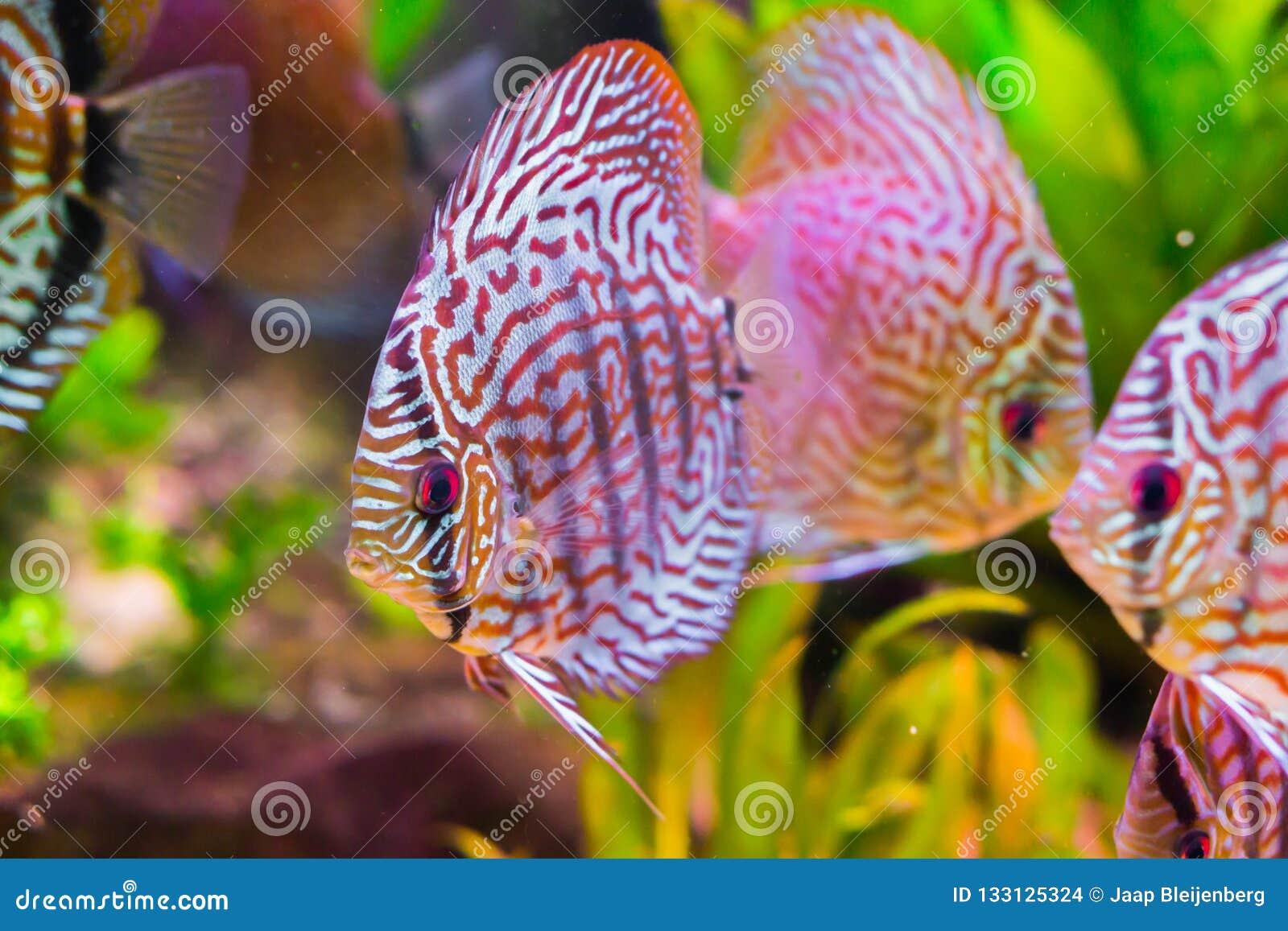 Bassin A Poisson Rouge beaux poissons rouges de disque de turquoise en plan