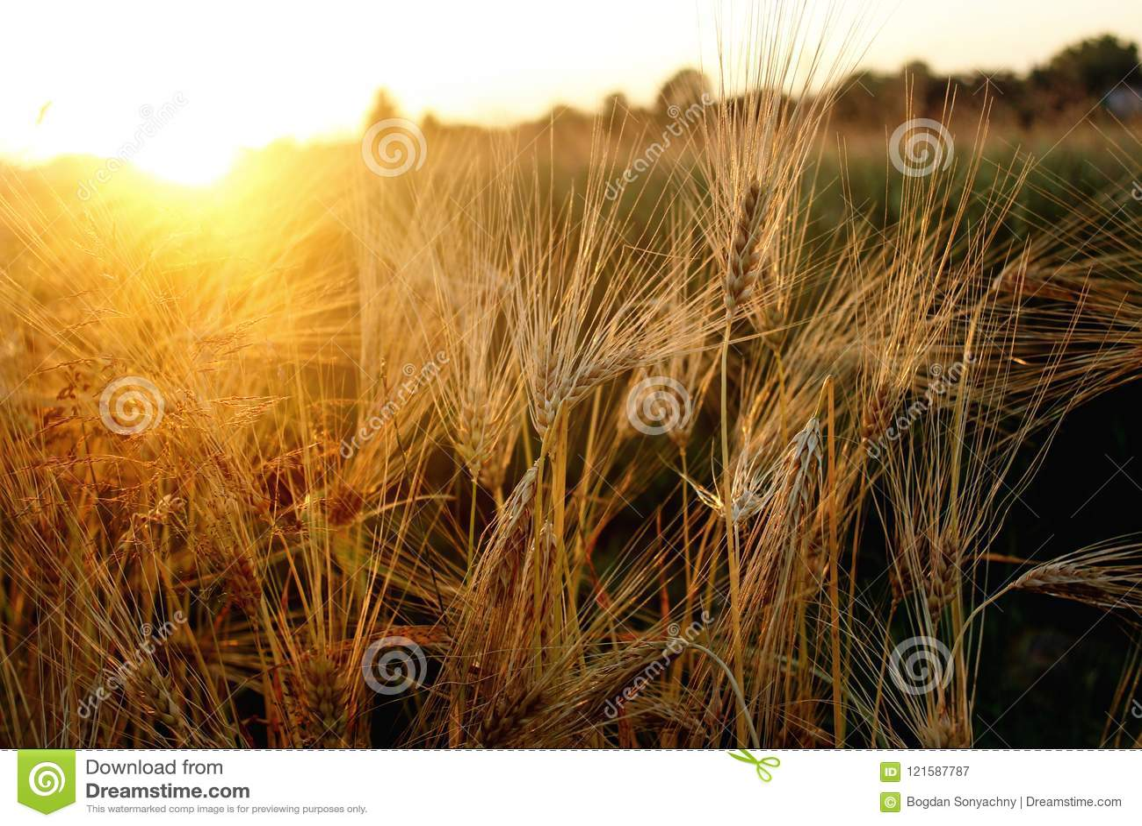 Beaux rayons de soleil et rayons au champ de blé de seigle, soleil étonnant