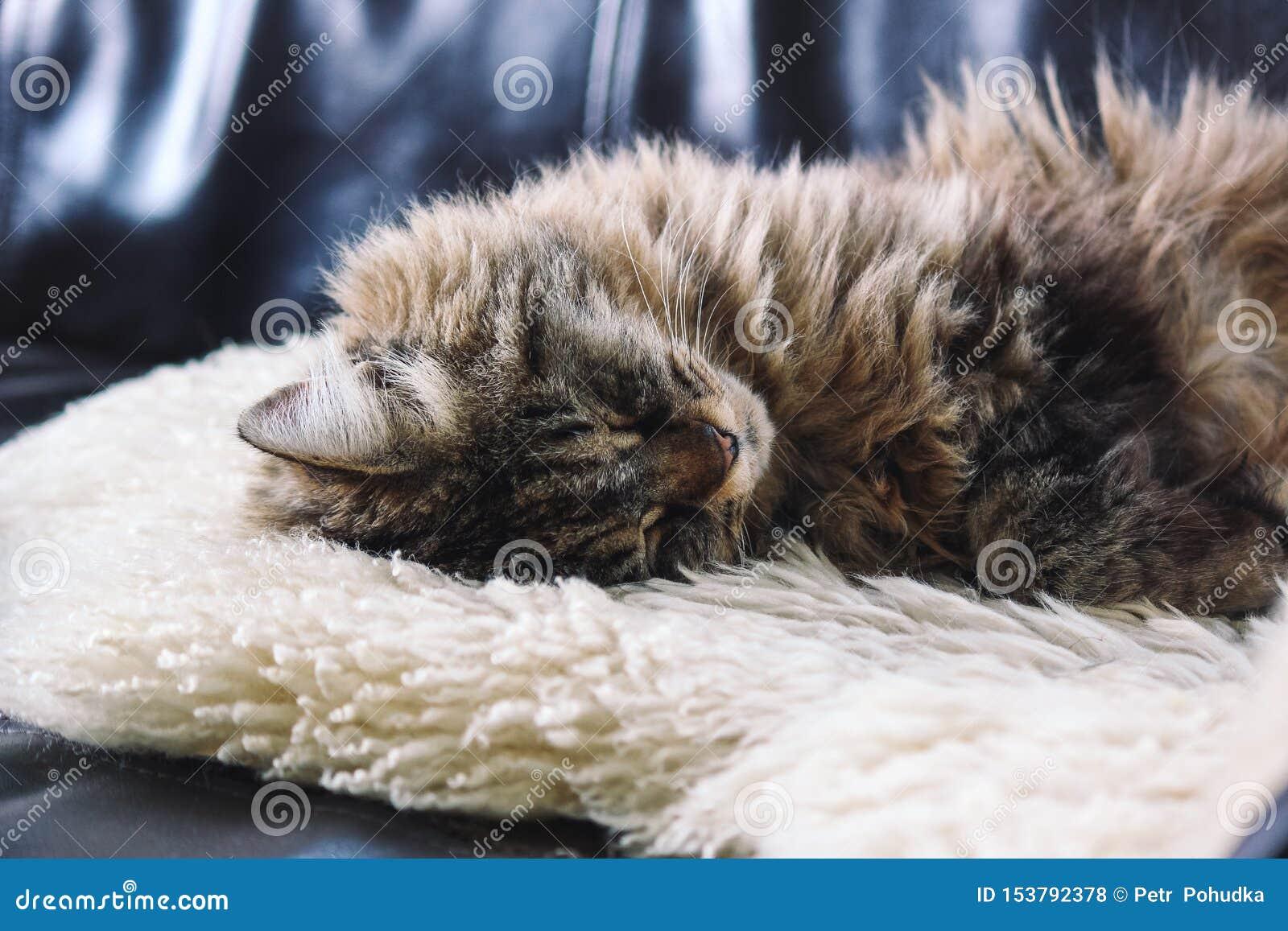 Beaux sommeils de chat Mensonge gris tigré de chat, prenant un petit somme sur la couverture pelucheuse blanche Animal familier m