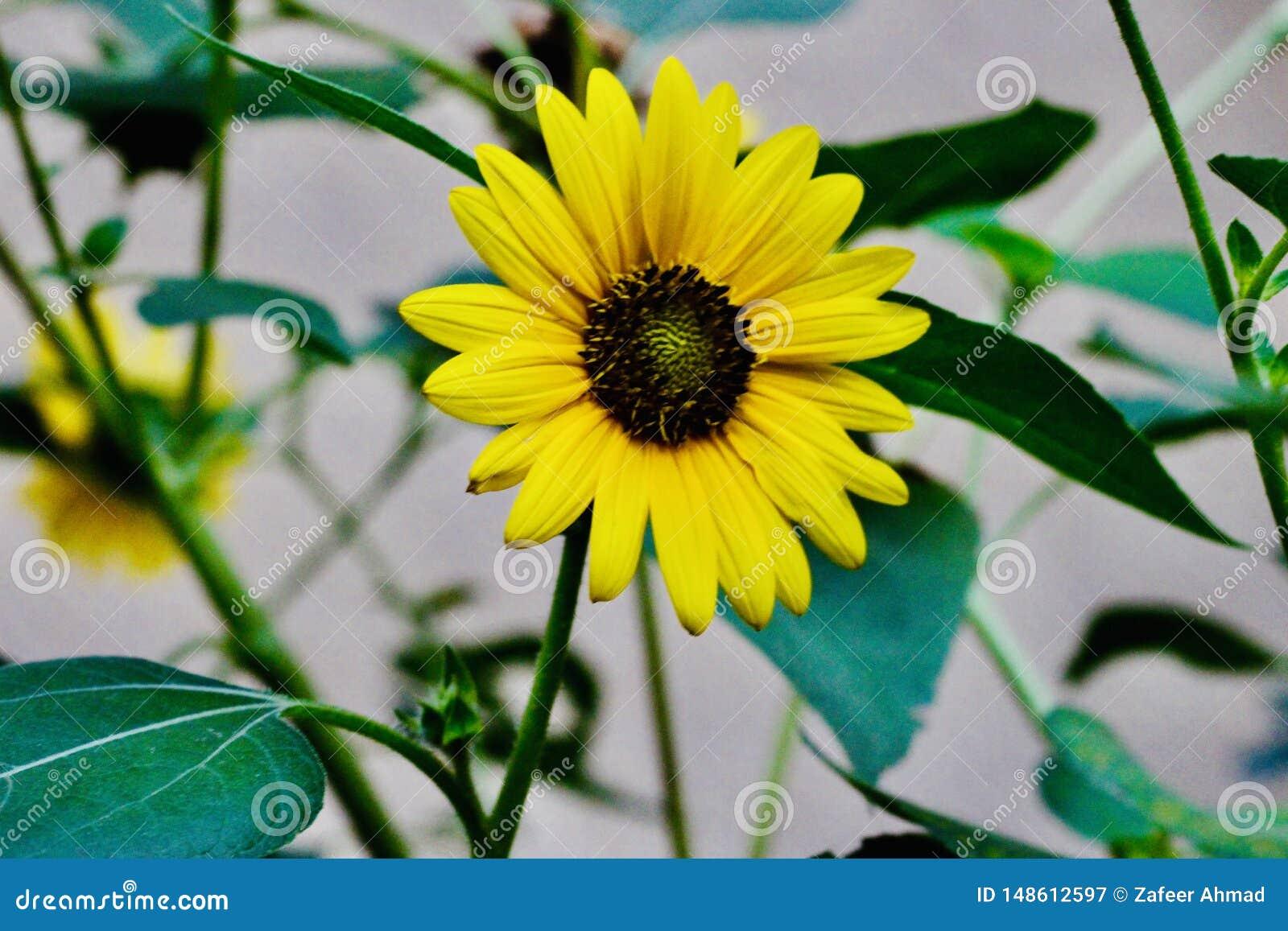 Beaux tournesols jaunes dans les domaines