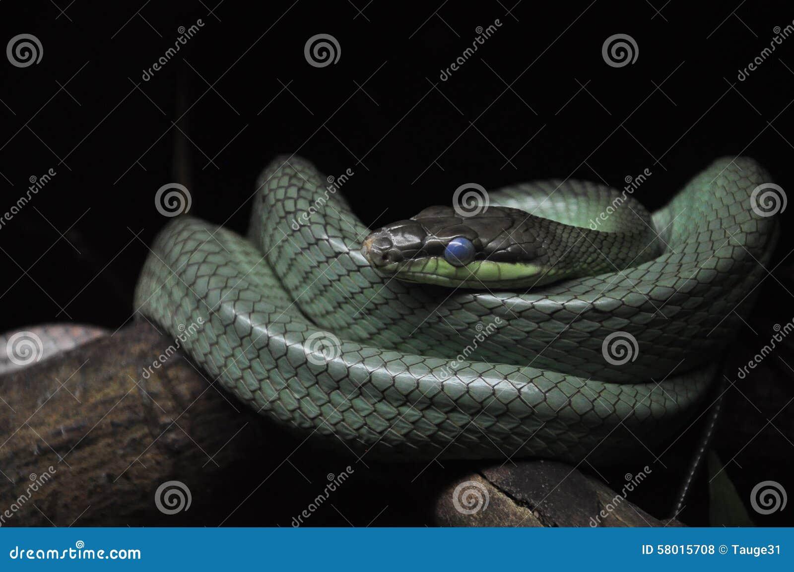 Beaux yeux bleus d un serpent
