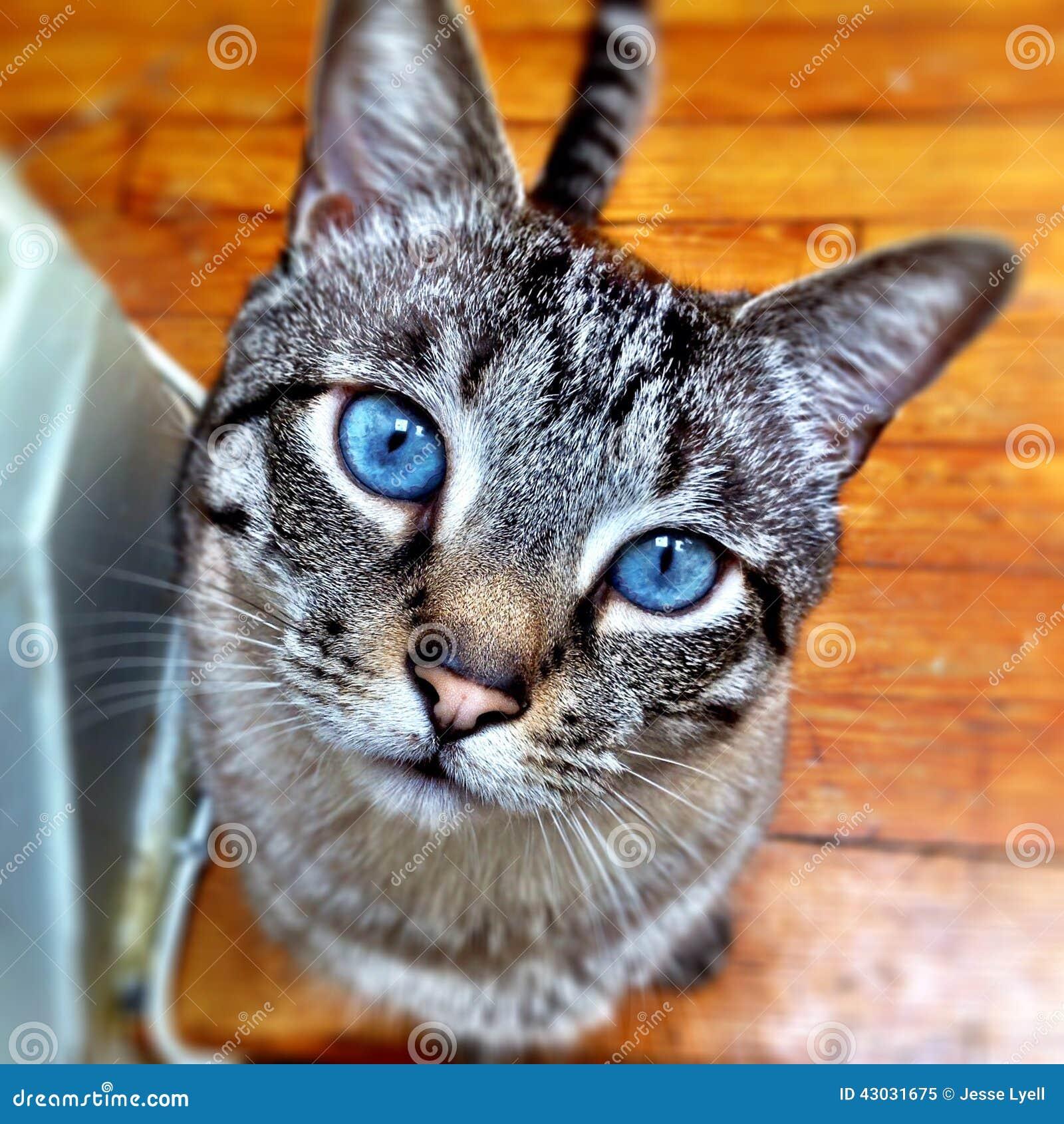 beaux yeux bleus de chat photo stock image 43031675. Black Bedroom Furniture Sets. Home Design Ideas