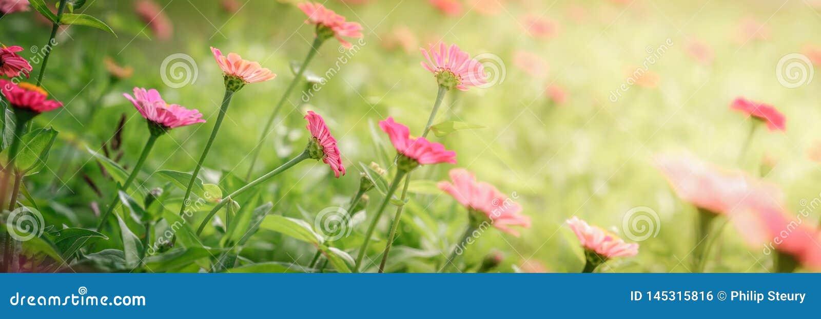 Beaux Zinnias de floraison