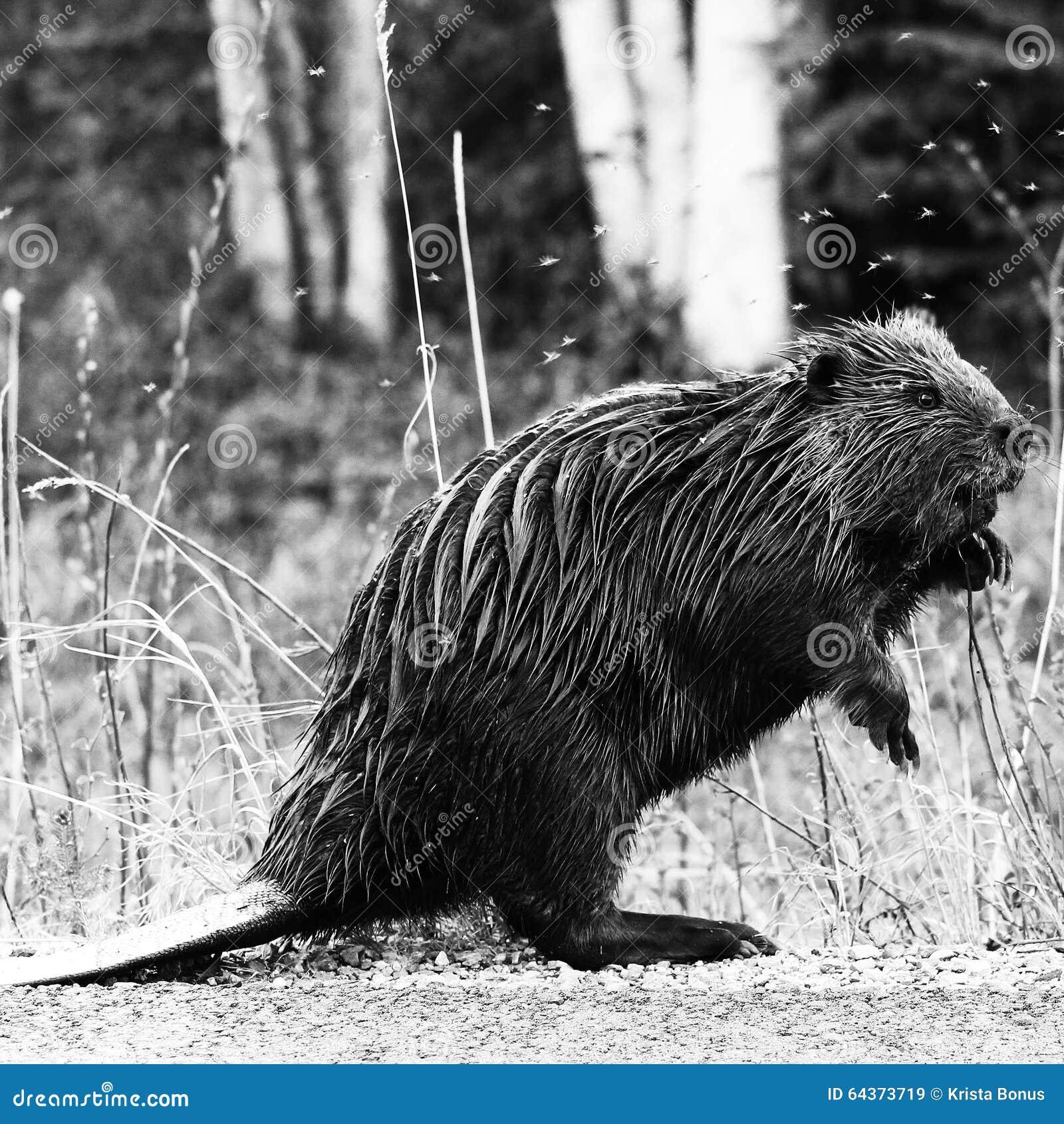 Beaver Stock Image Image Of Mosquitoes Wild Alaska 64373719
