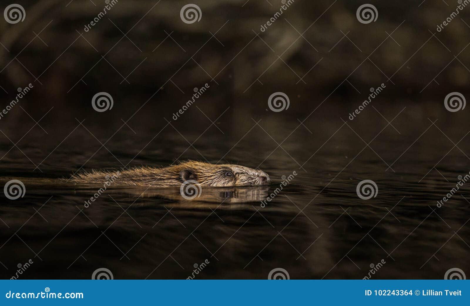 Beaver, Castor Fiber, Swimming In Dark Water Stock Photo