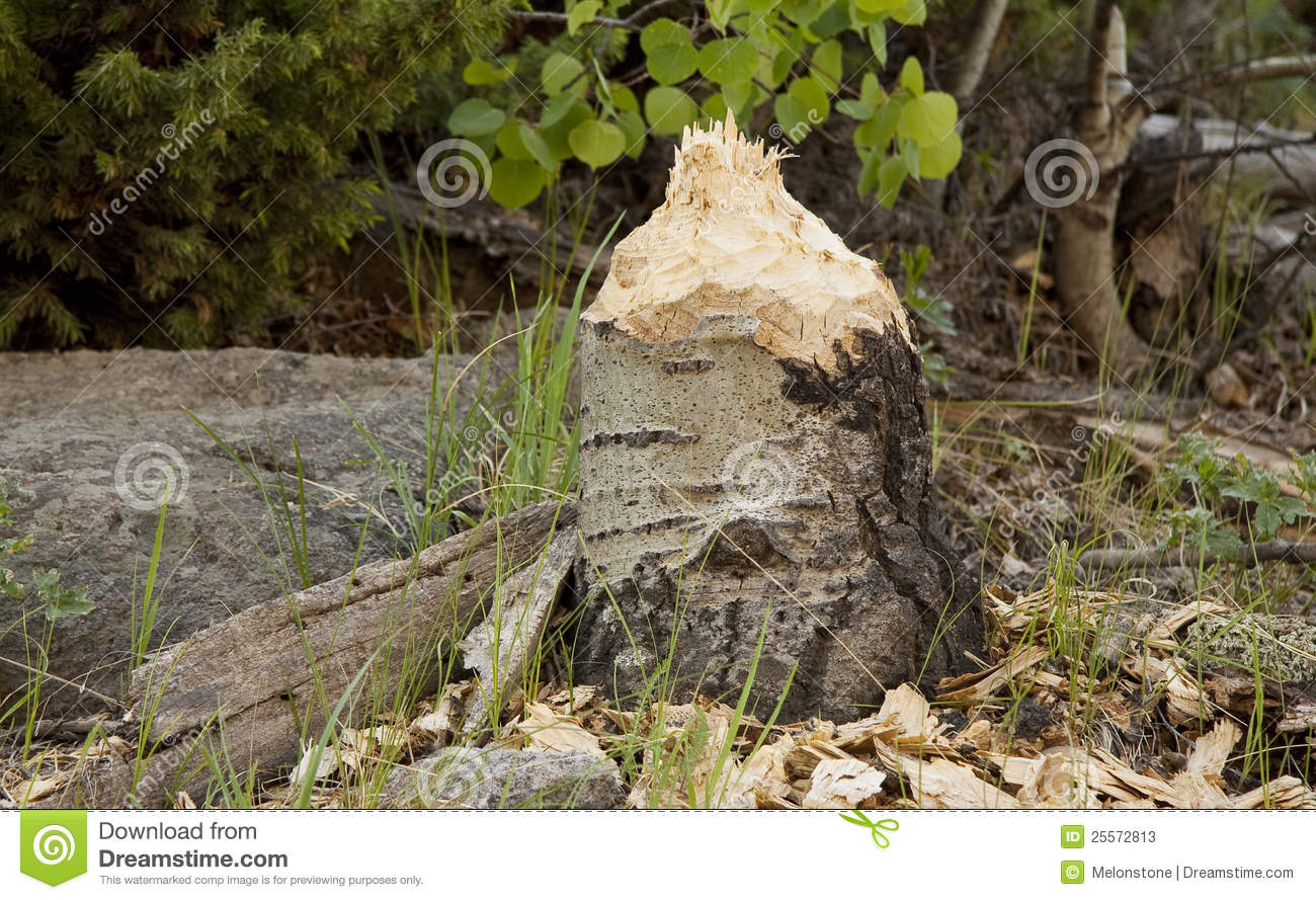Beaver chewed tree stump stock image. Image of outdoor ...