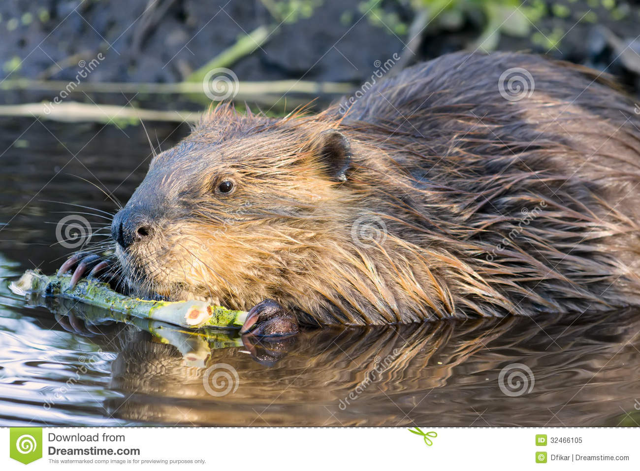 Beaver Chewing On A Branch In The Wild Royalty Free Stock ...