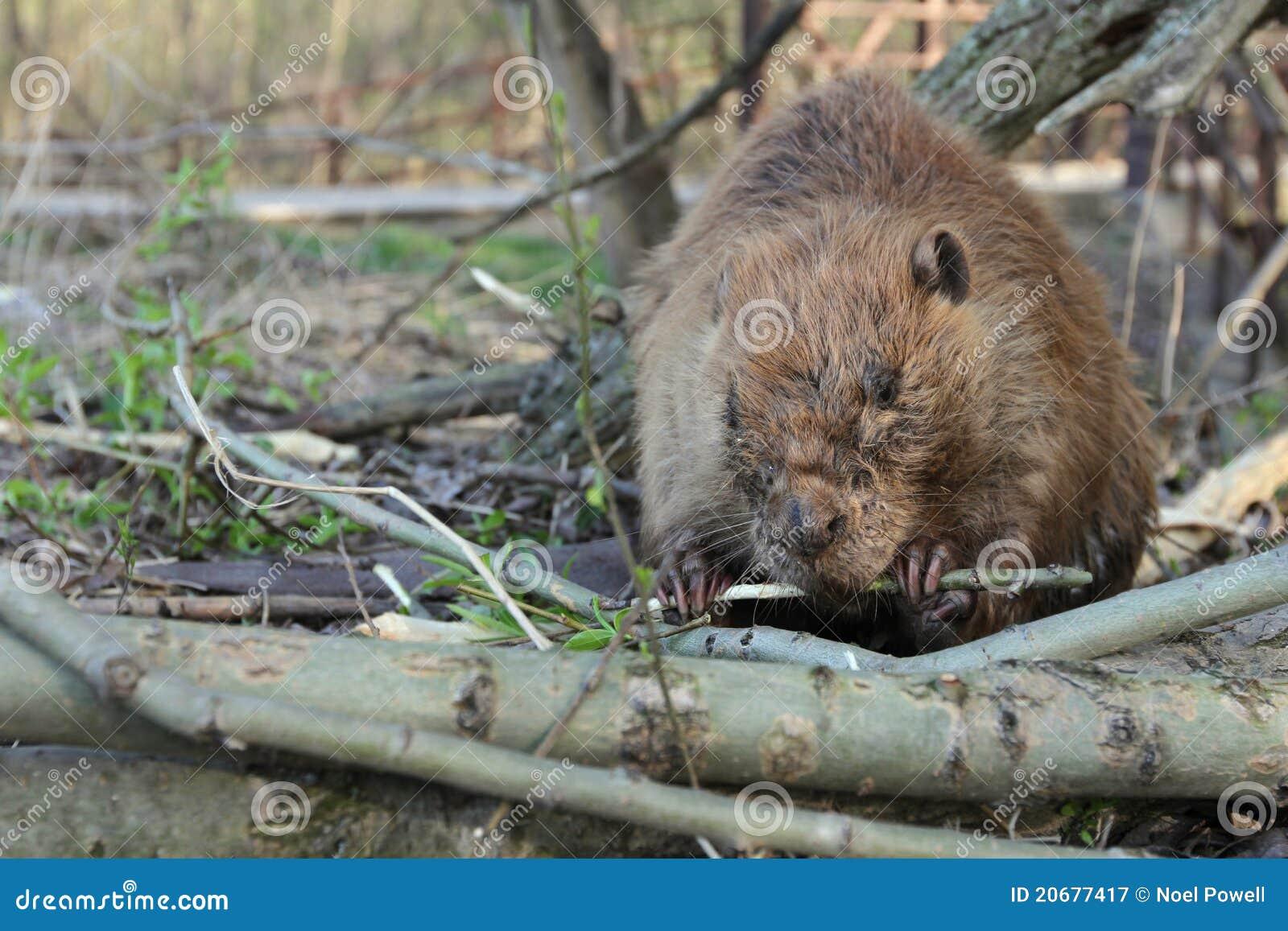 Beaver Eating Tree Bark Stock Image Image Of Trunk