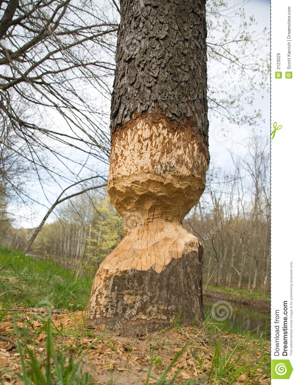 Beaver Knaw Marks On A Tree Royalty Free Stock Images ...