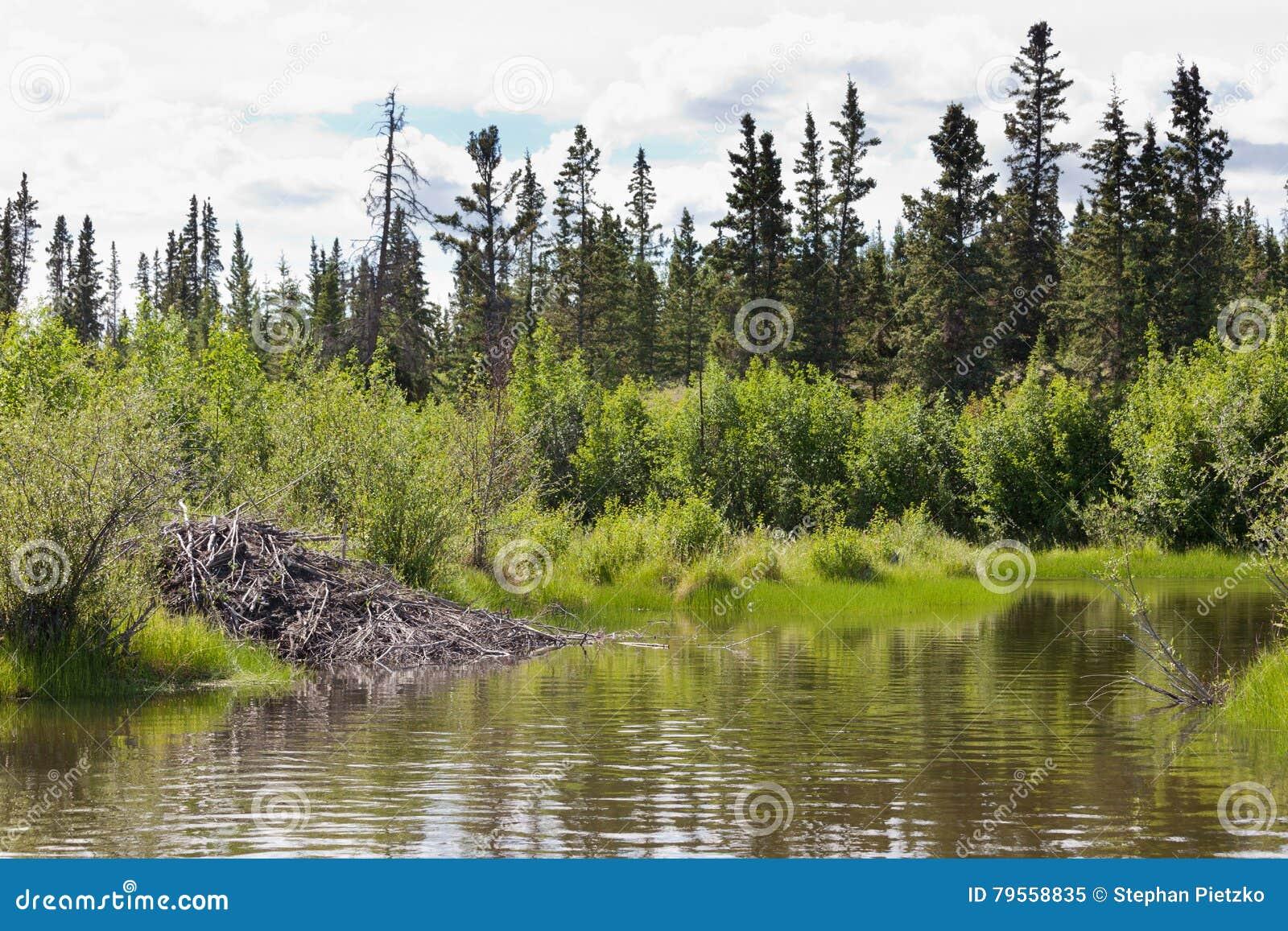 Beaver la casa de campo en el hábitat ripícola del bioma del Yukón T