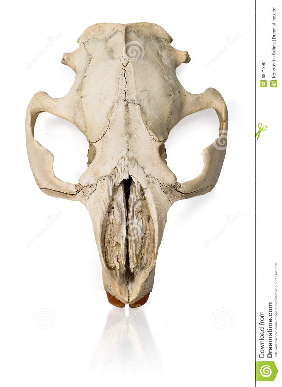 Beaver skull stock photo. Image of nature, skulls, dying - 6821390