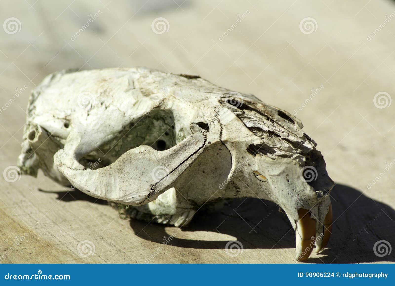 Beaver Skull Sideview