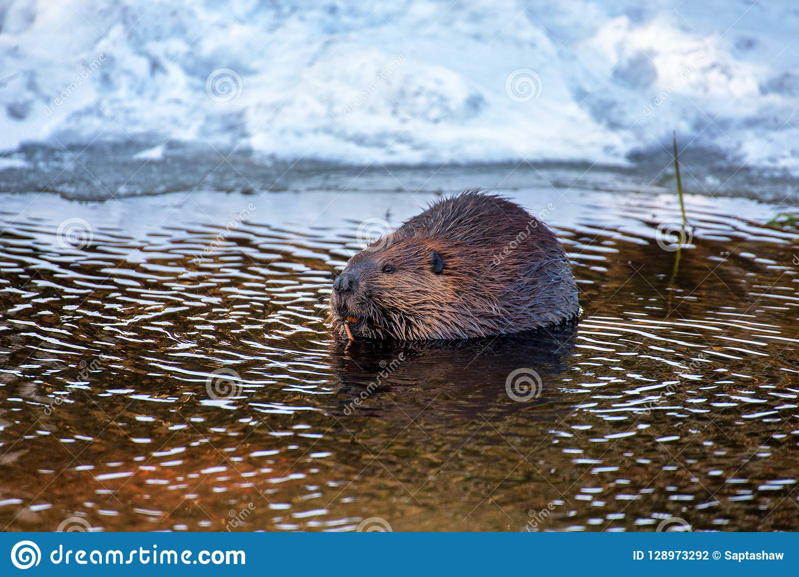 a beaver snacking on a stick in water stock photo image of stick Beaver in Pushing Water a beaver in water chewing a stick in winter in an ontario provincial park