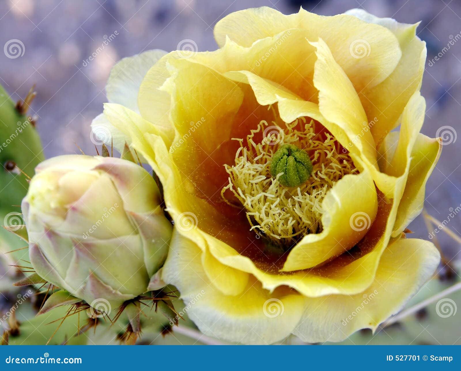 Download Beavertail仙人掌花 库存图片. 图片 包括有 仙人掌, 上升了, 黄色, 沙漠, budd, 绽放 - 527701