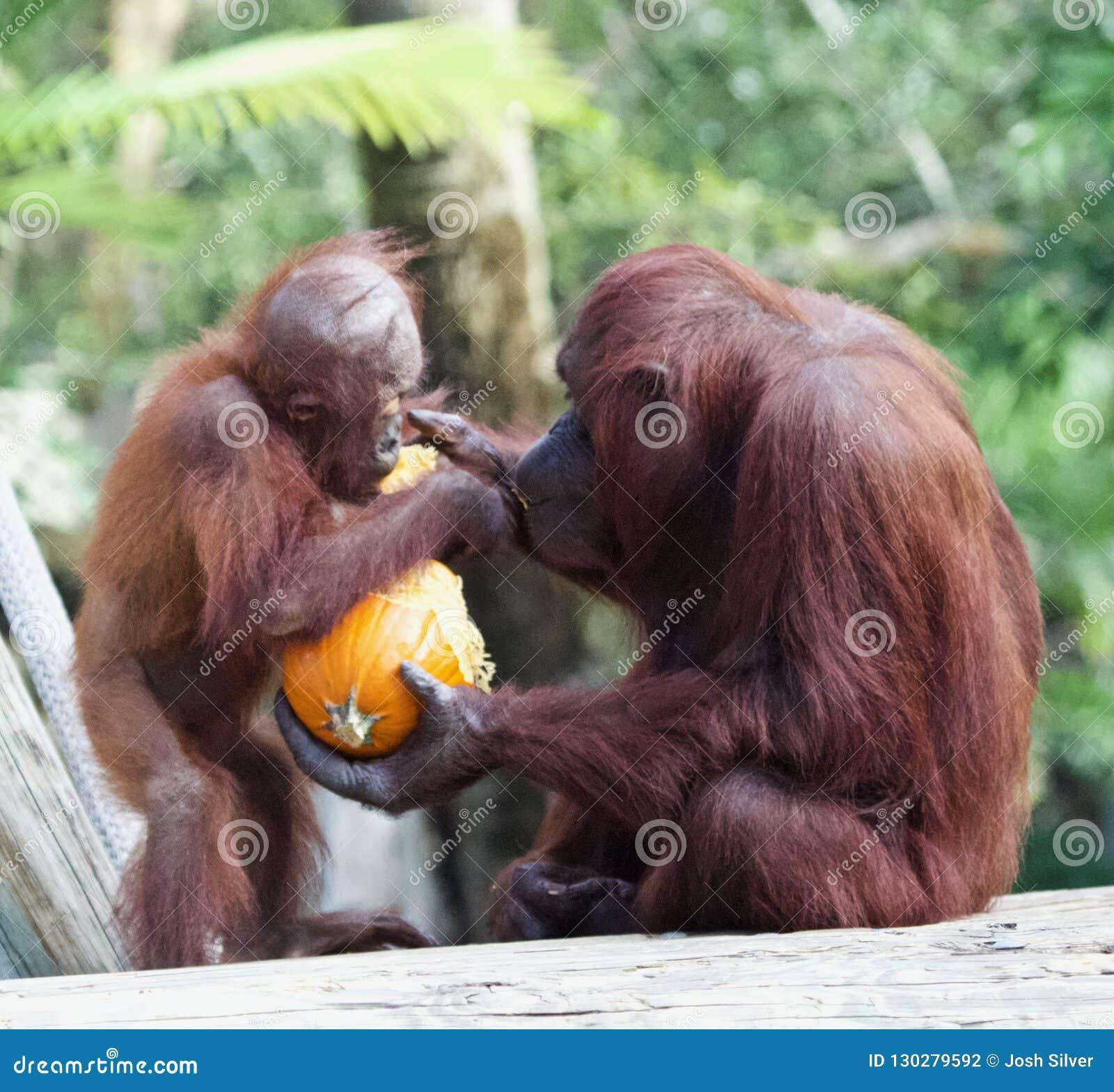 Bebé de alimentación del orangután de la madre