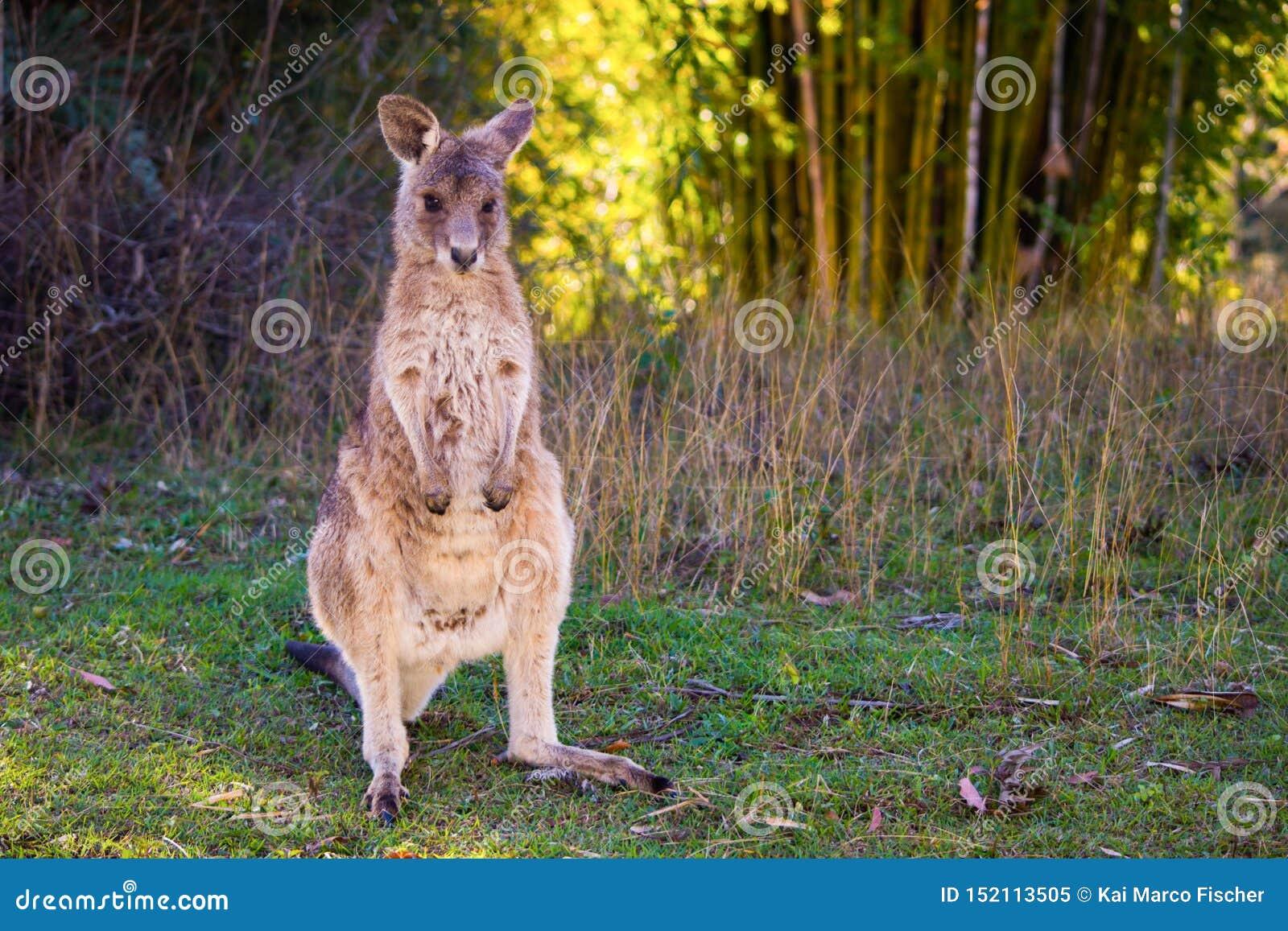 Bebé del canguro, costa de la sol, Australia