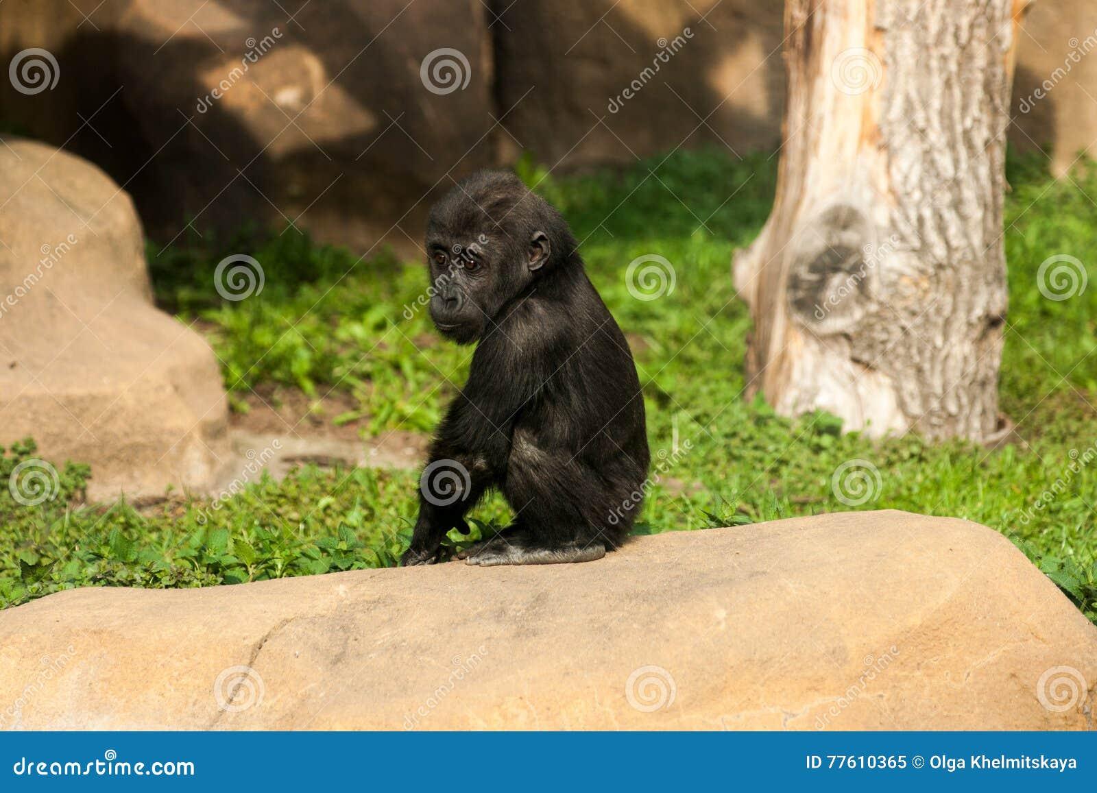 Bebé del gorila que se sienta en una piedra
