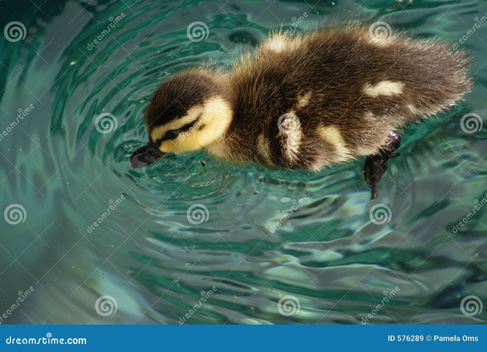 Bebé duck1