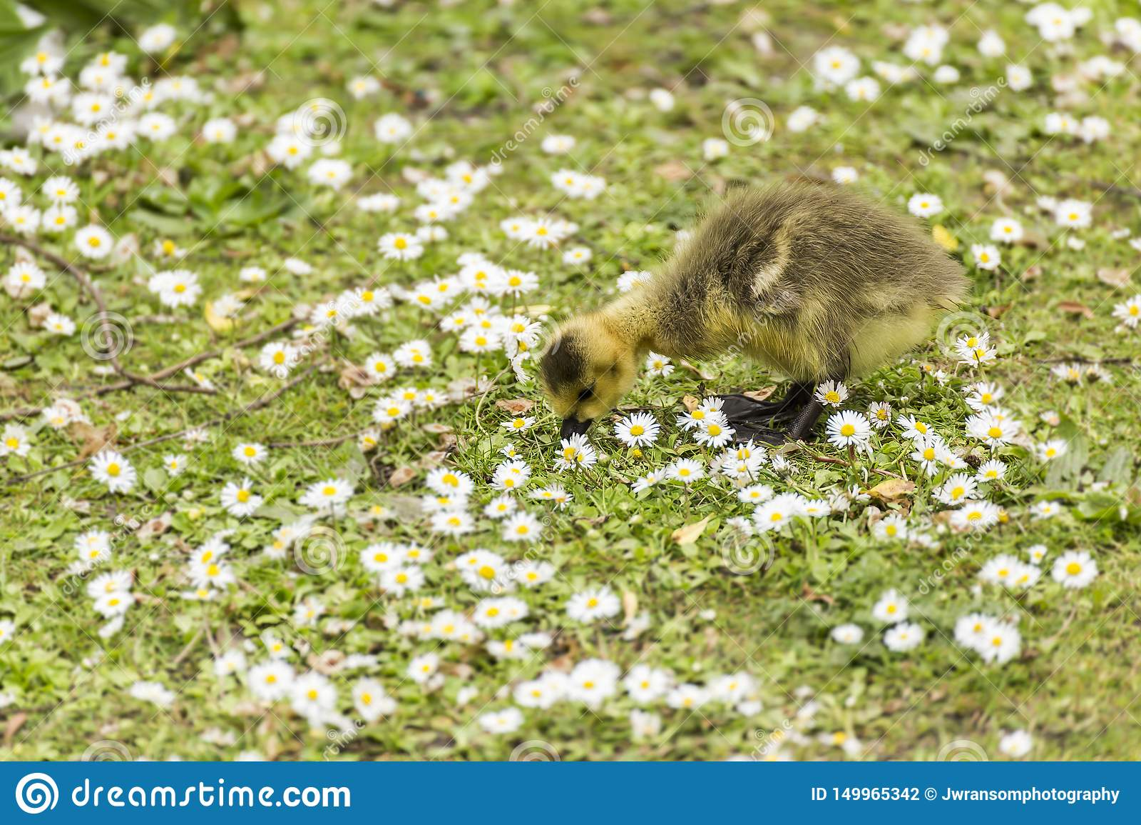 Bebé Gosling que picotea para la comida en la tierra entre un mar de margaritas