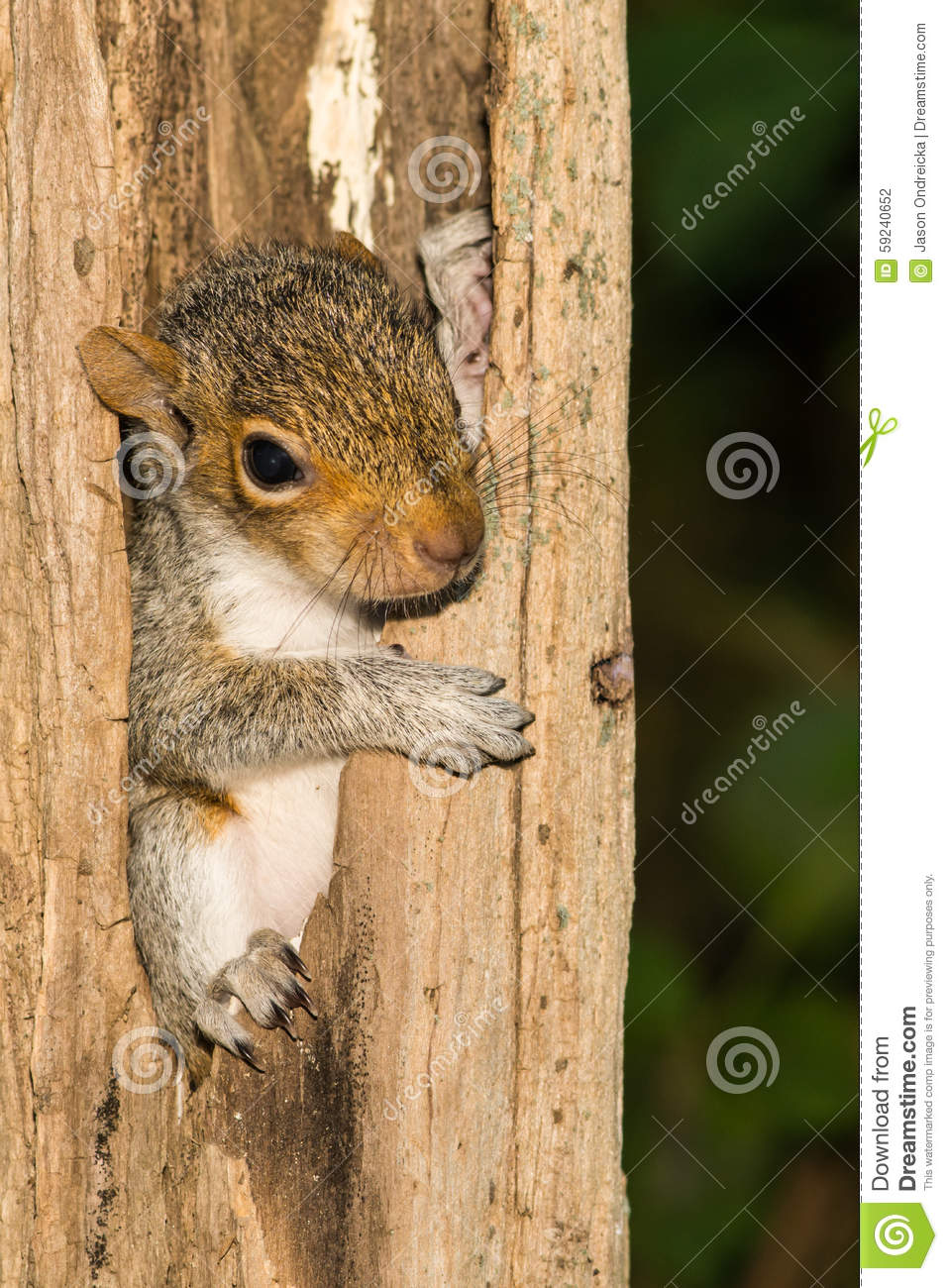 Bebé Gray Squirrel