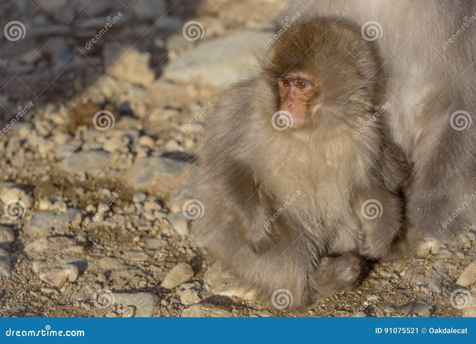 Bebé japonés del Macaque que abraza en los pies del ` s de la madre
