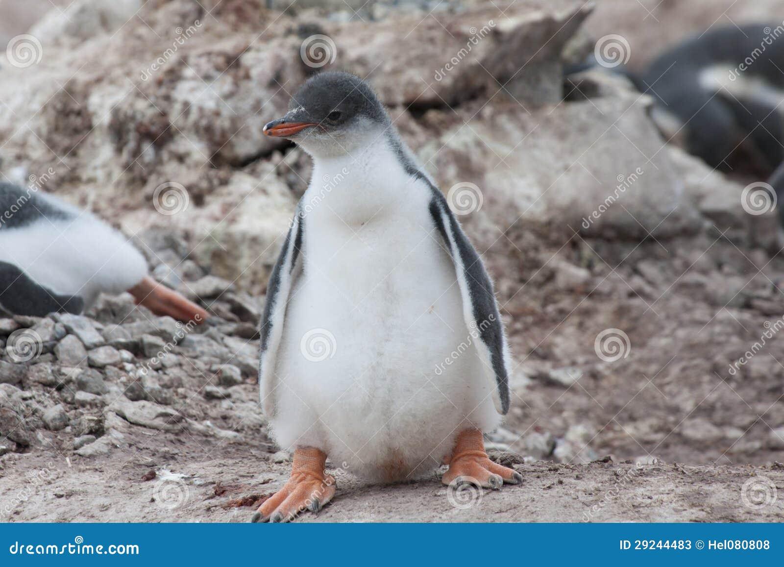 Download Bebê bonito do pinguim imagem de stock. Imagem de bico - 29244483