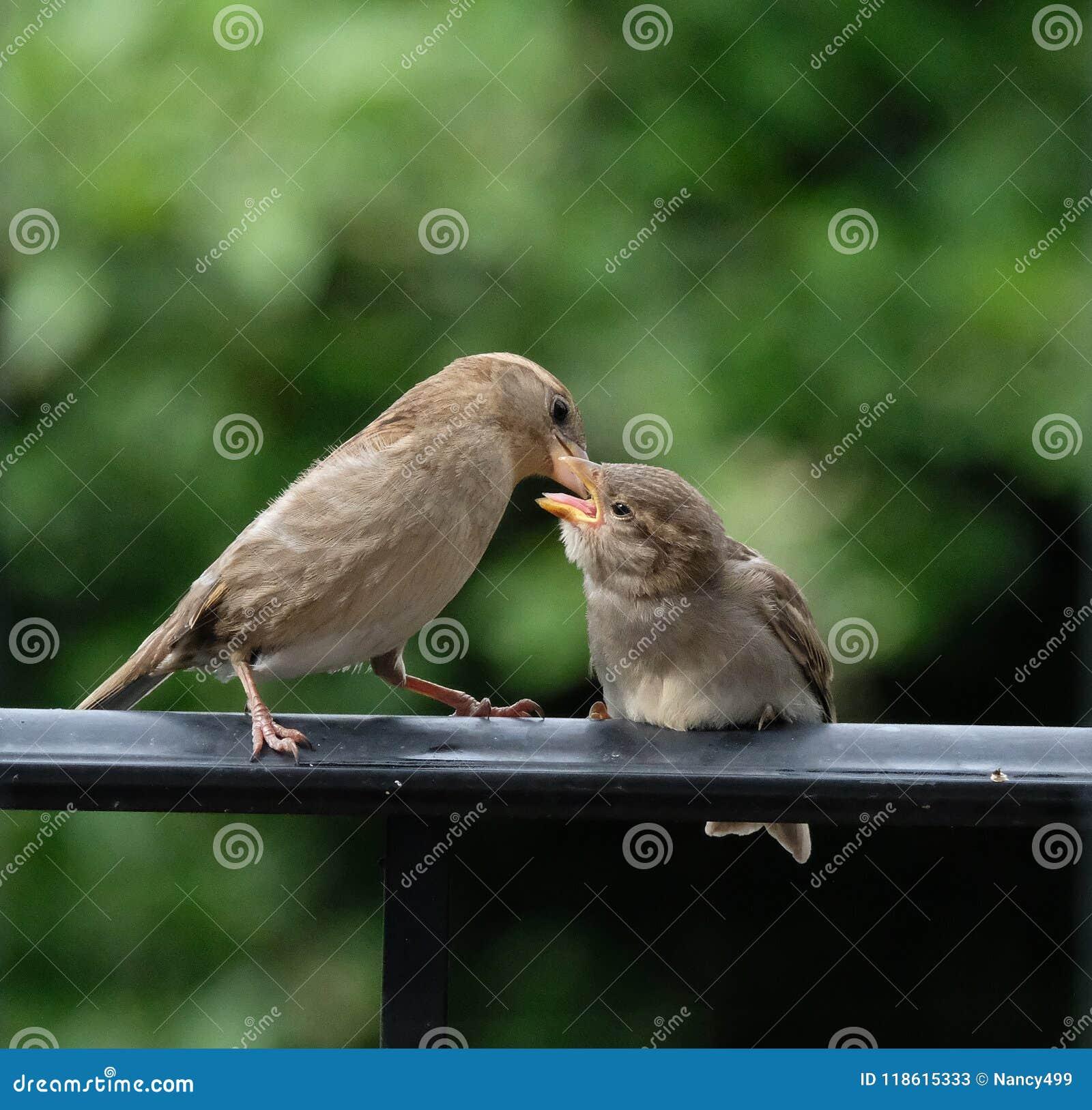 Bebê de alimentação do passarinho da mamã que senta-se no trilho preto