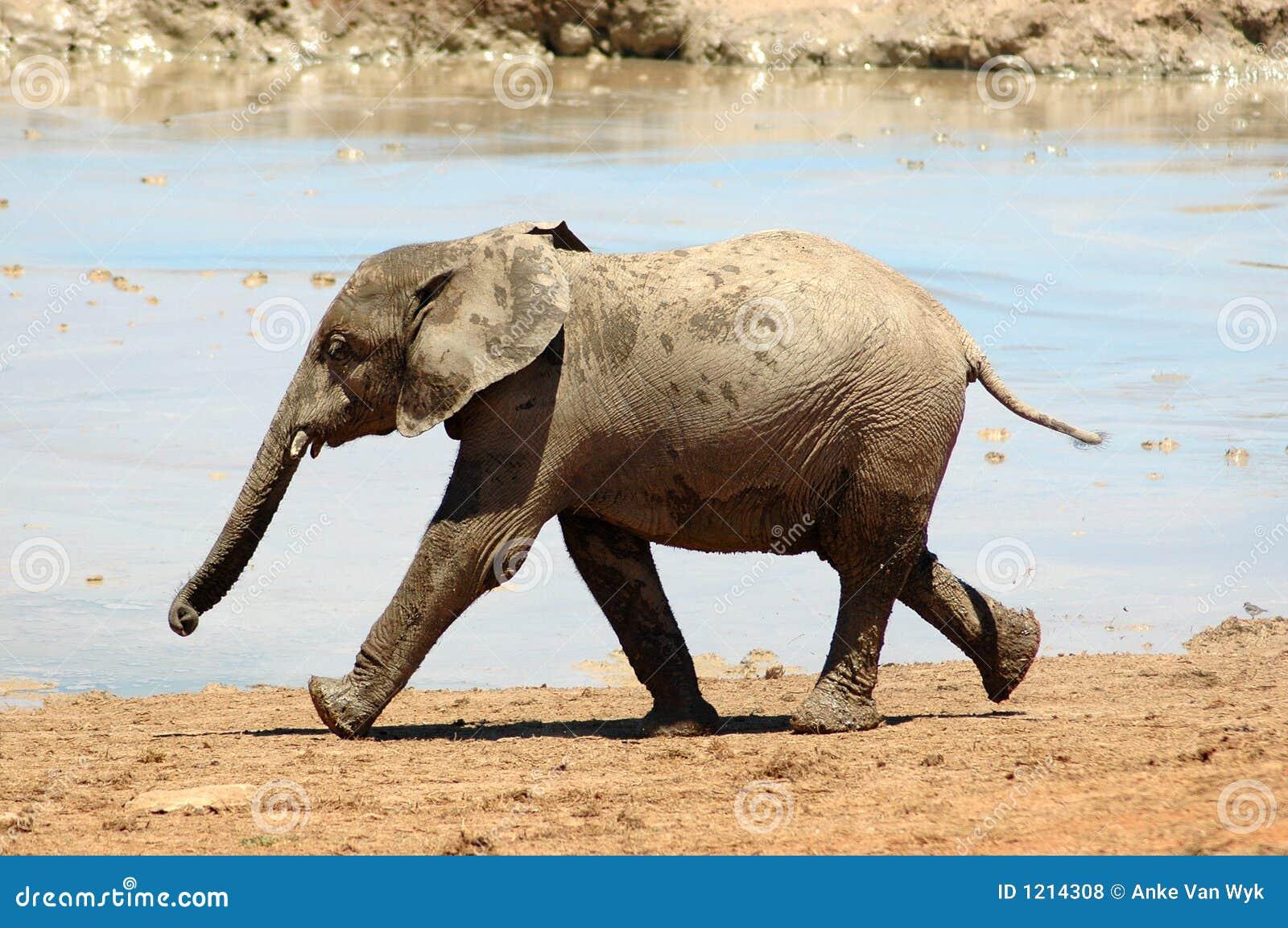 Bebê do elefante