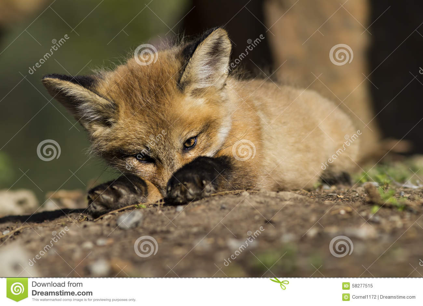 Bebê do Fox vermelho