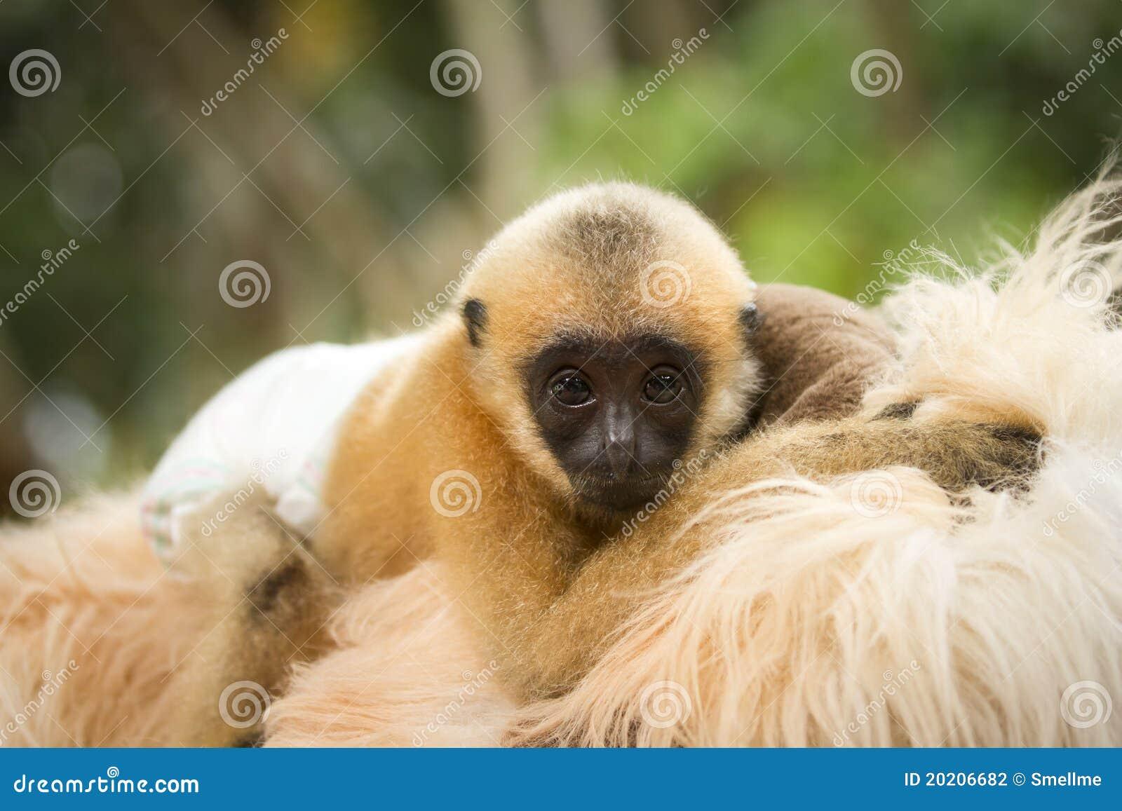 Bebê do Gibbon