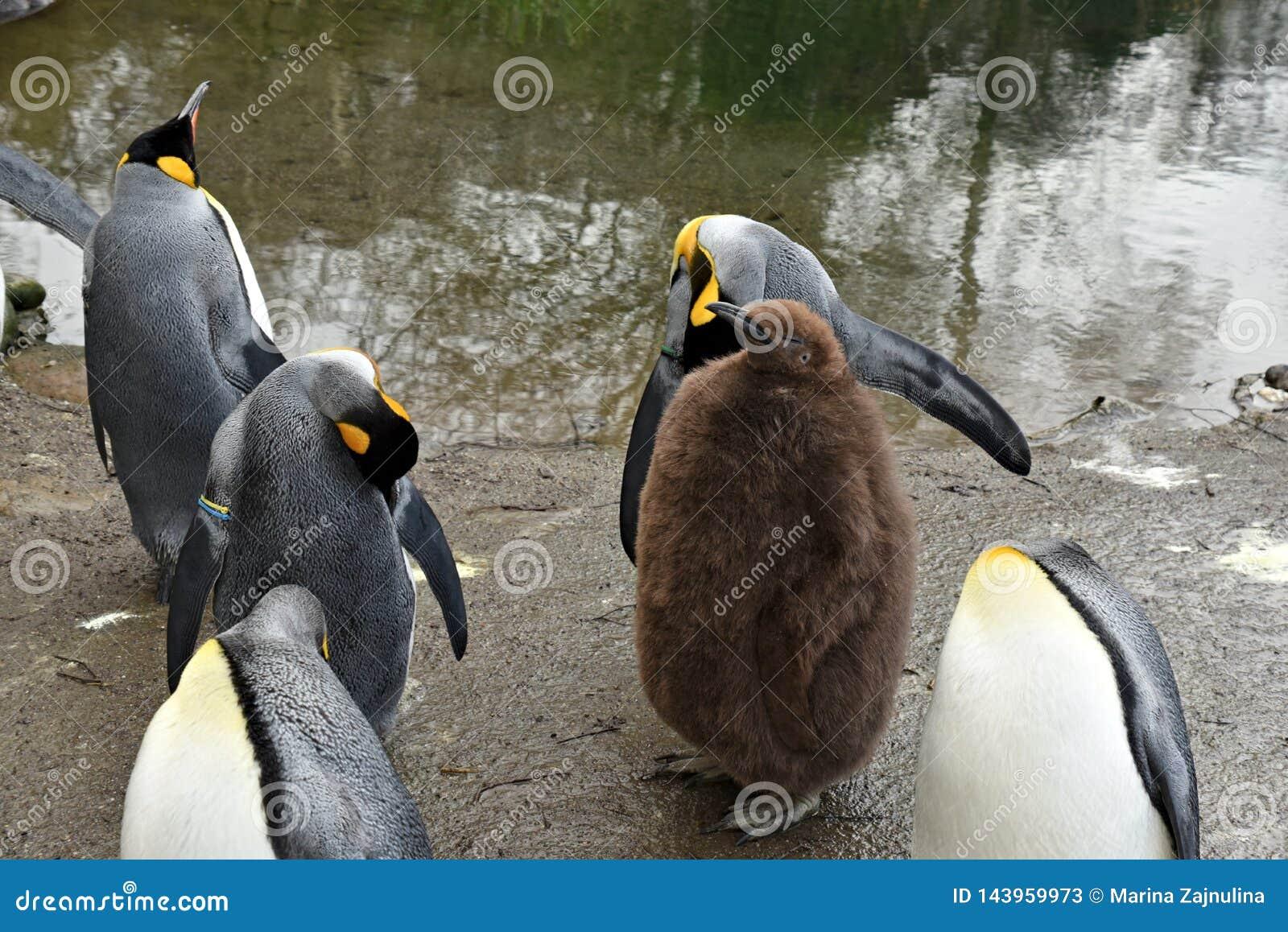 Bebê do pinguim de imperador cercado por animais adultos