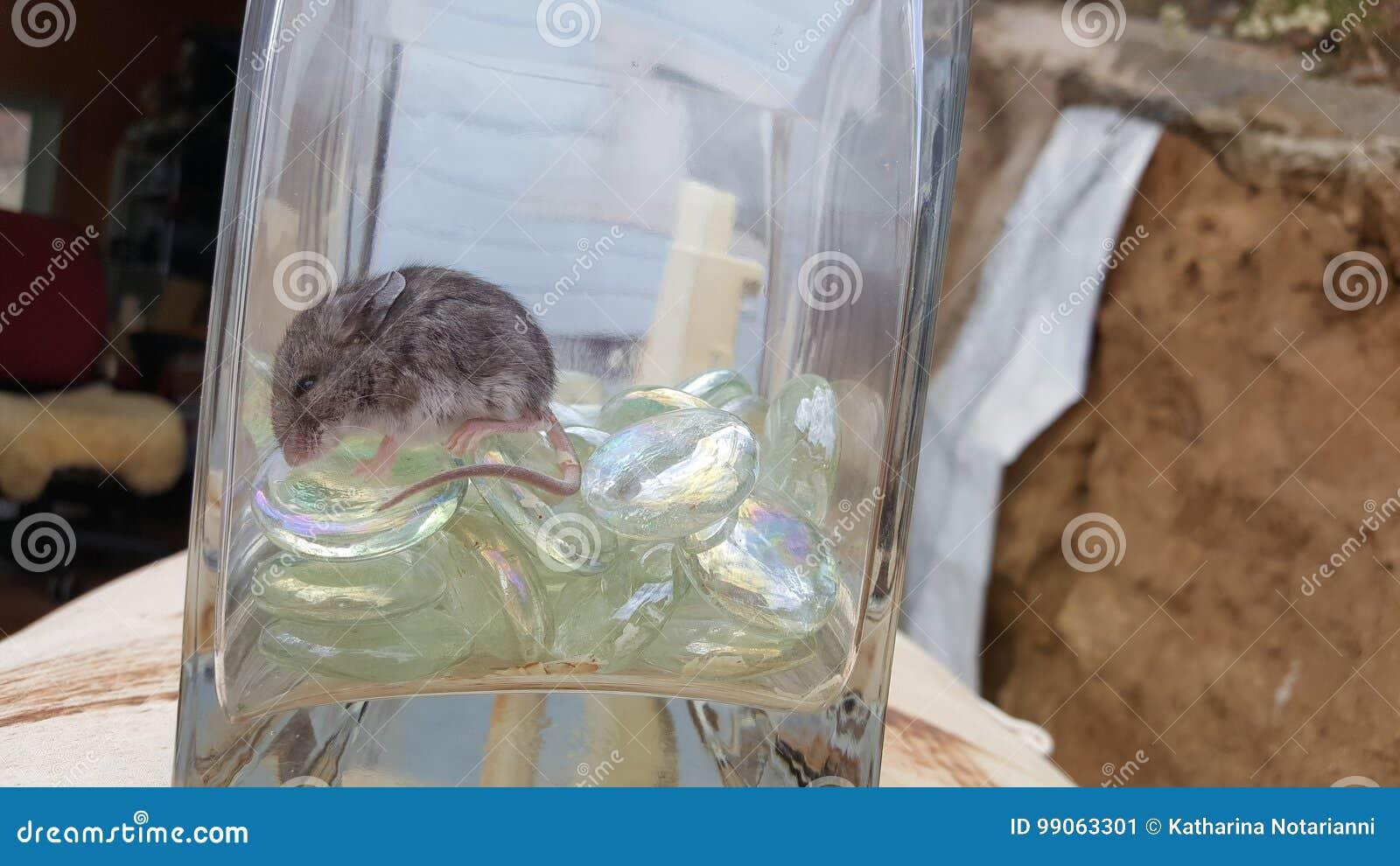 bebê do rato de canguru de califórnia que dorme no vidro imagem de