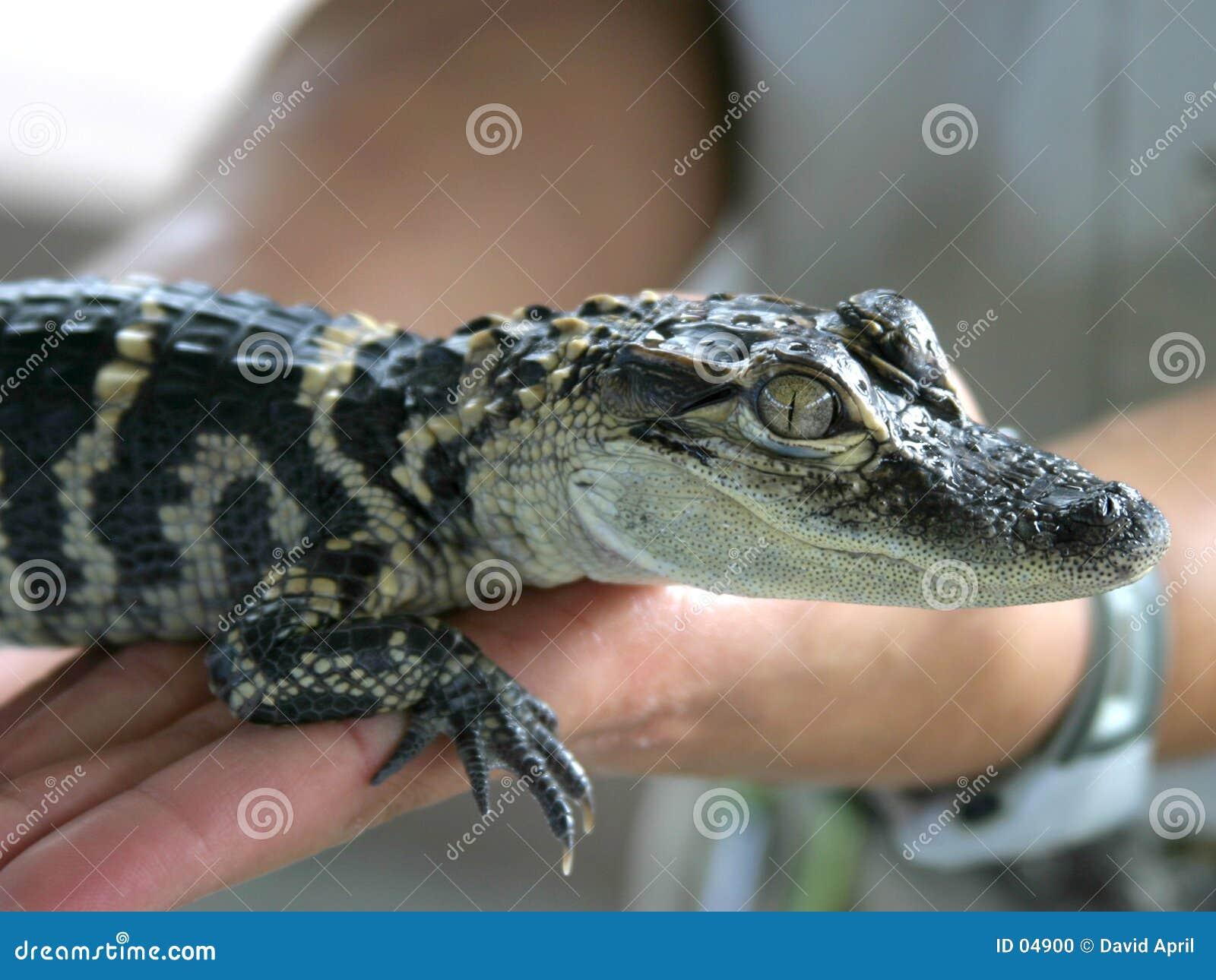 Bebê Gator