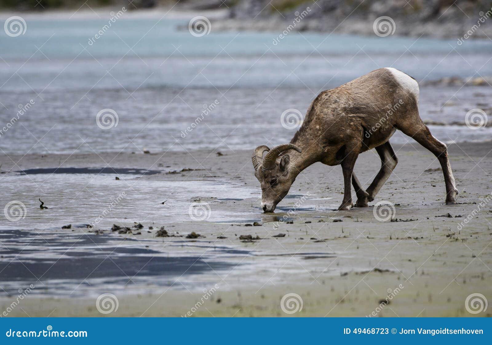 Beber dos carneiros de Bighorn