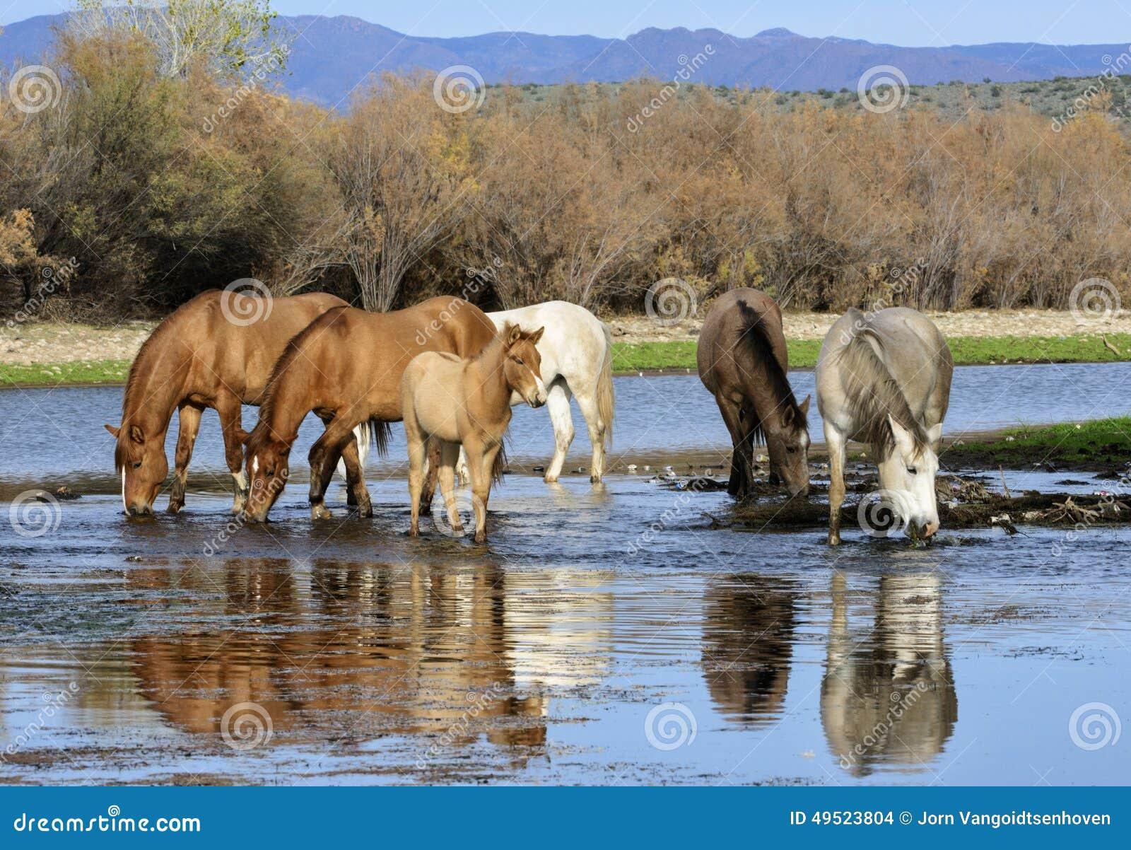 Bebidas da faixa do cavalo selvagem de Salt River